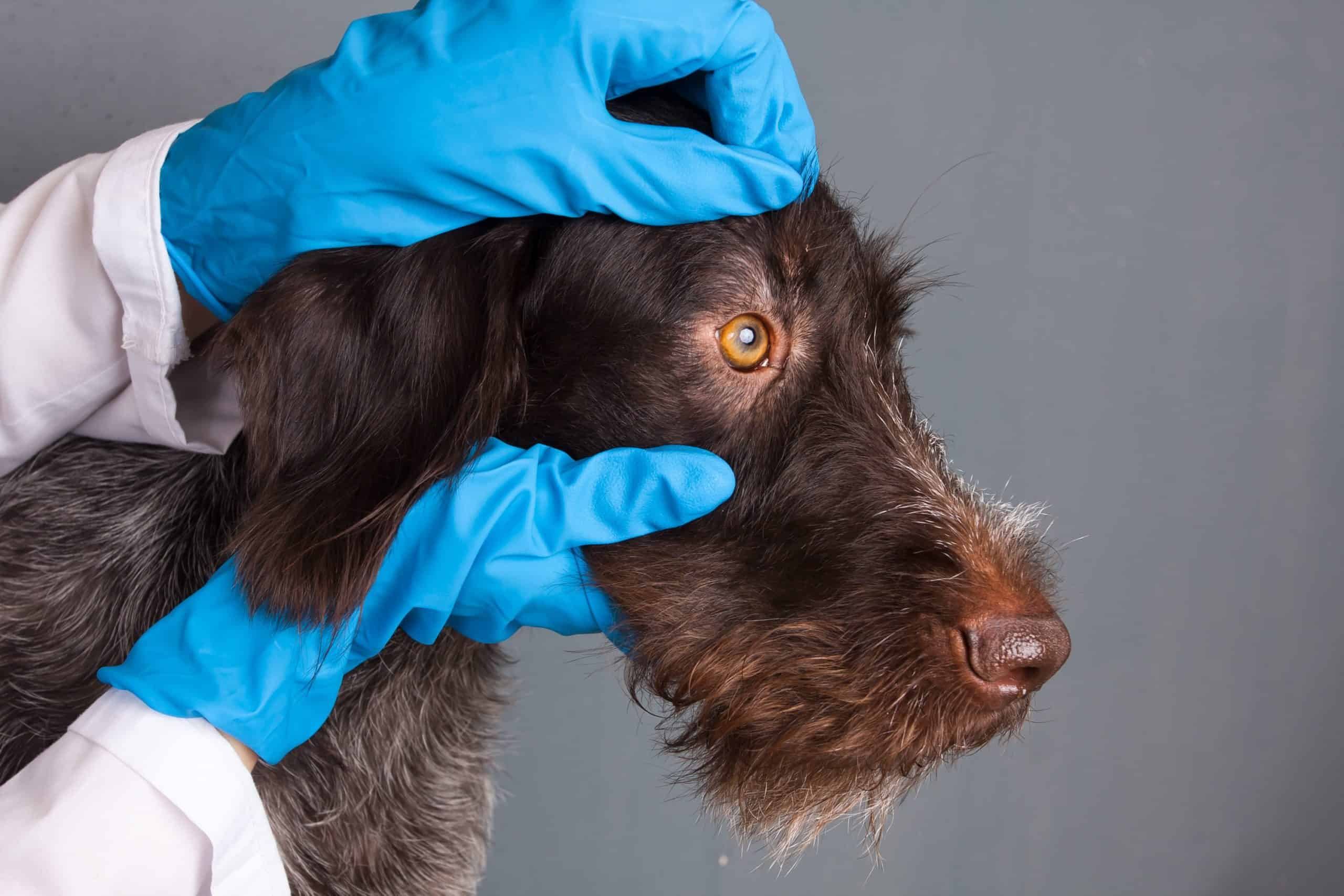 Vet examines dog's eyes. Take the dog to the vet immediately if he shows any symptoms of canine distemper.