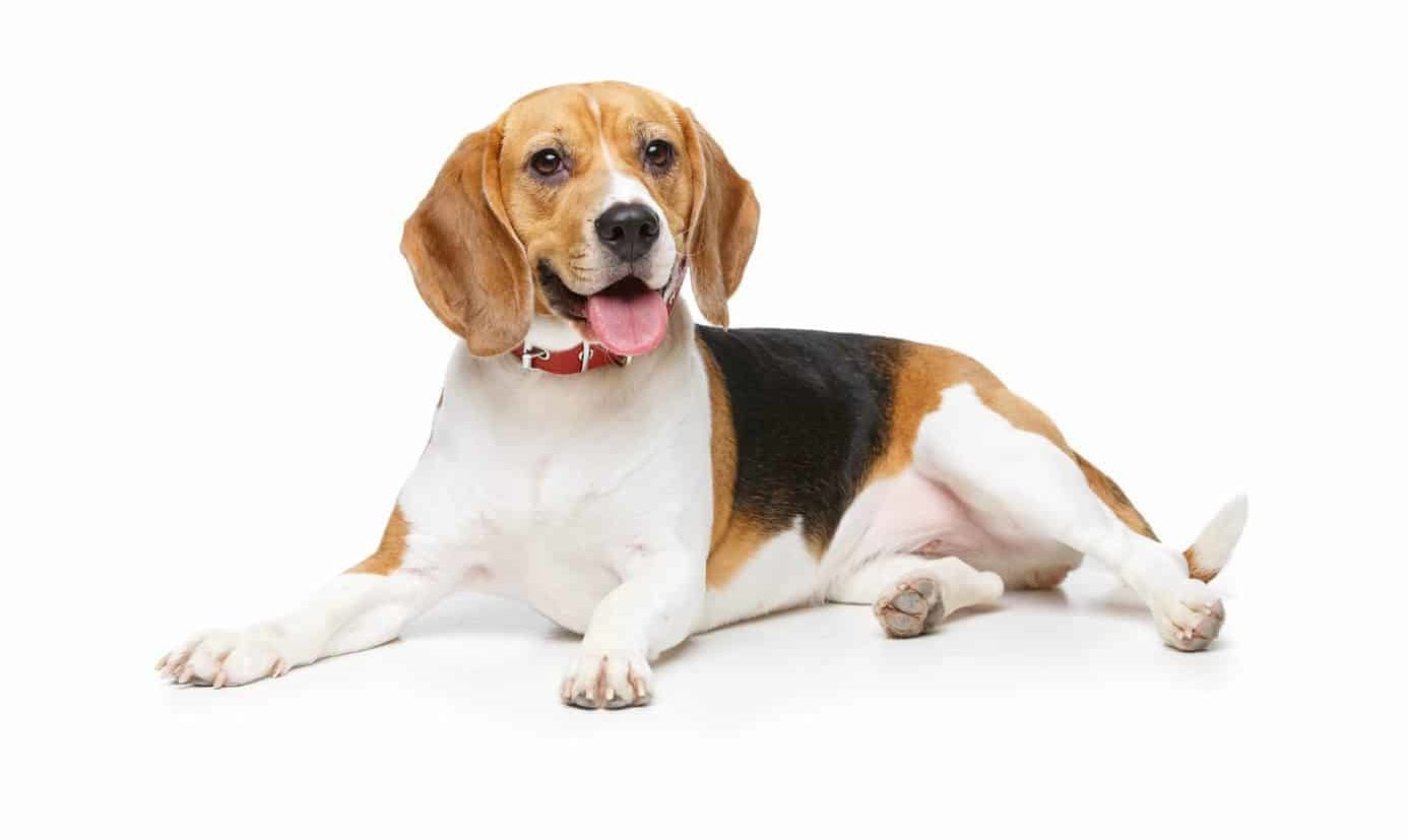 Happy beagle on white background. Follow these five dog health tips: Feed your dog quality meals, take them for walks, pay attention when they're sick, sign them up for pet insurance, and shower them with love and attention.