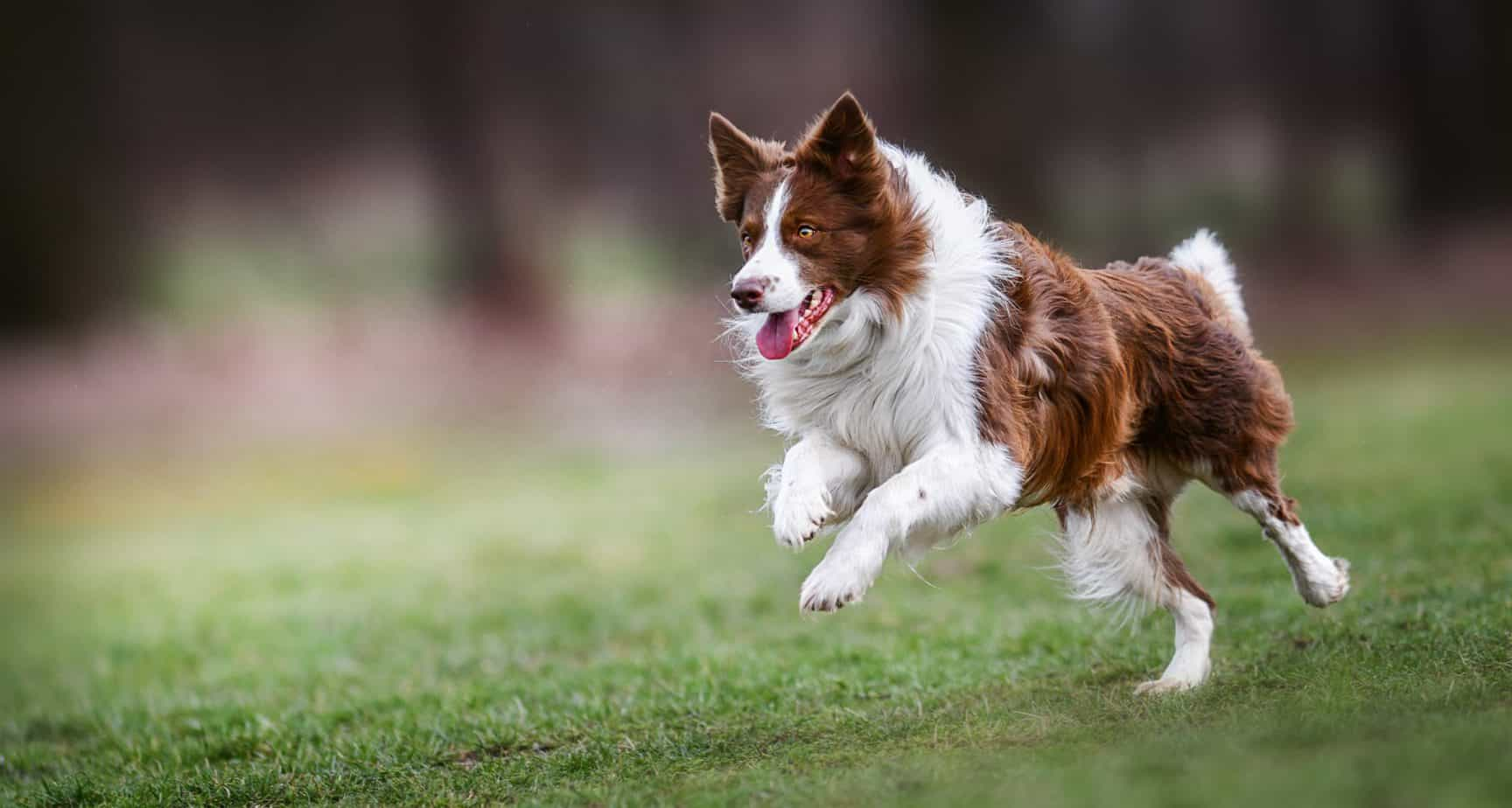 Happy border collie runs across yard. Make sure your dog gets enough outdoor time and exercise. Movement and activity are incredibly important, if not only for your dog's physical health but also their mental well being and behavior.