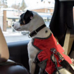 Dog wears harness with seat belt attached. When planning a road trip with your dog, be sure to use a dog seat belt to keep your pup safe.