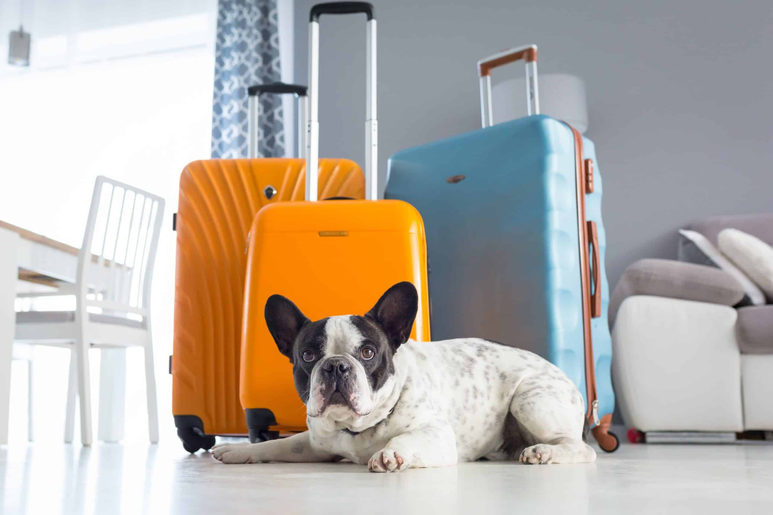 Nervous French Bulldog sits by suitcases. By preparing a dog sitter checklist, you'll make everyone feel better and more at ease: your dog, the sitter, and yourself.