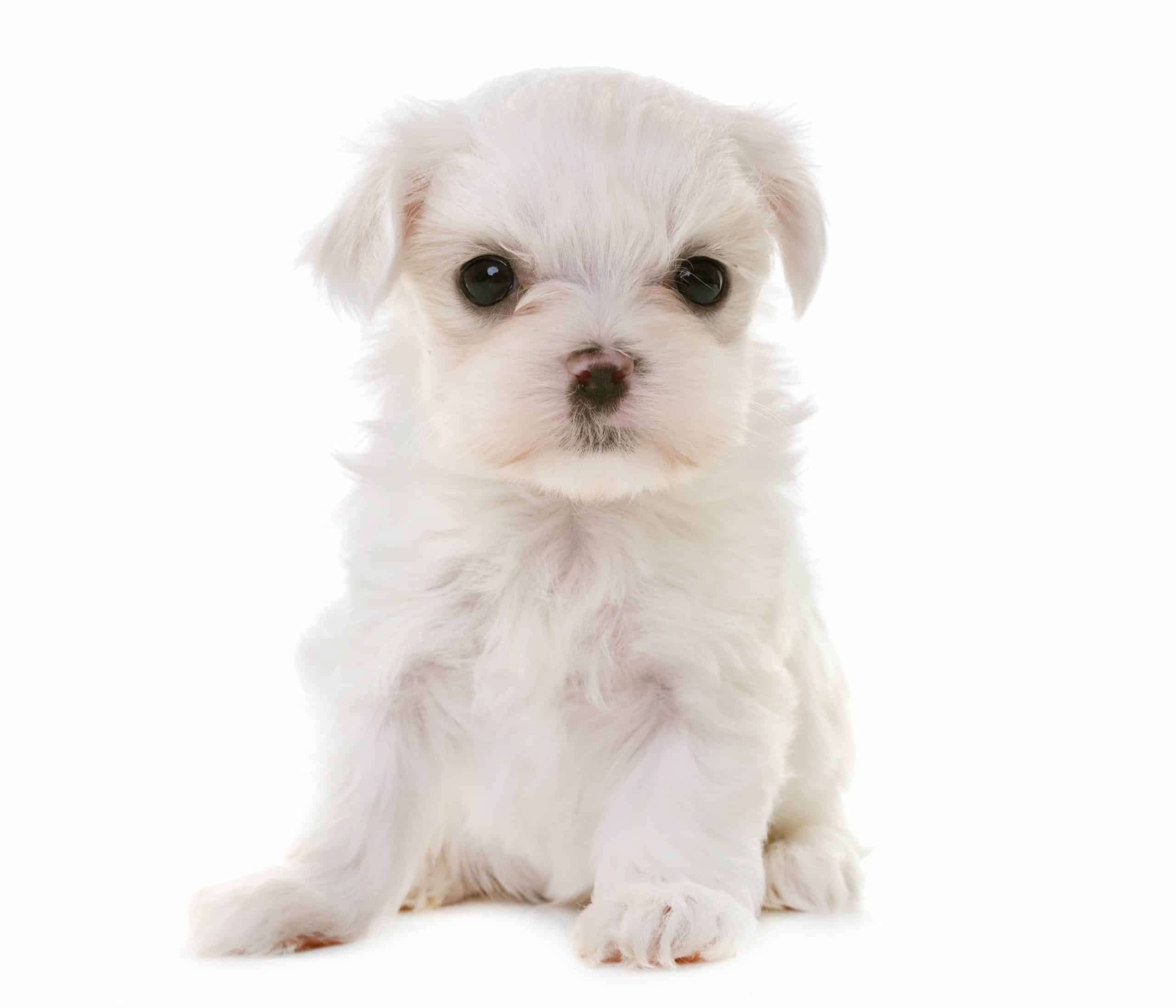 The Maltese terrier is considered a non-shedding breed.