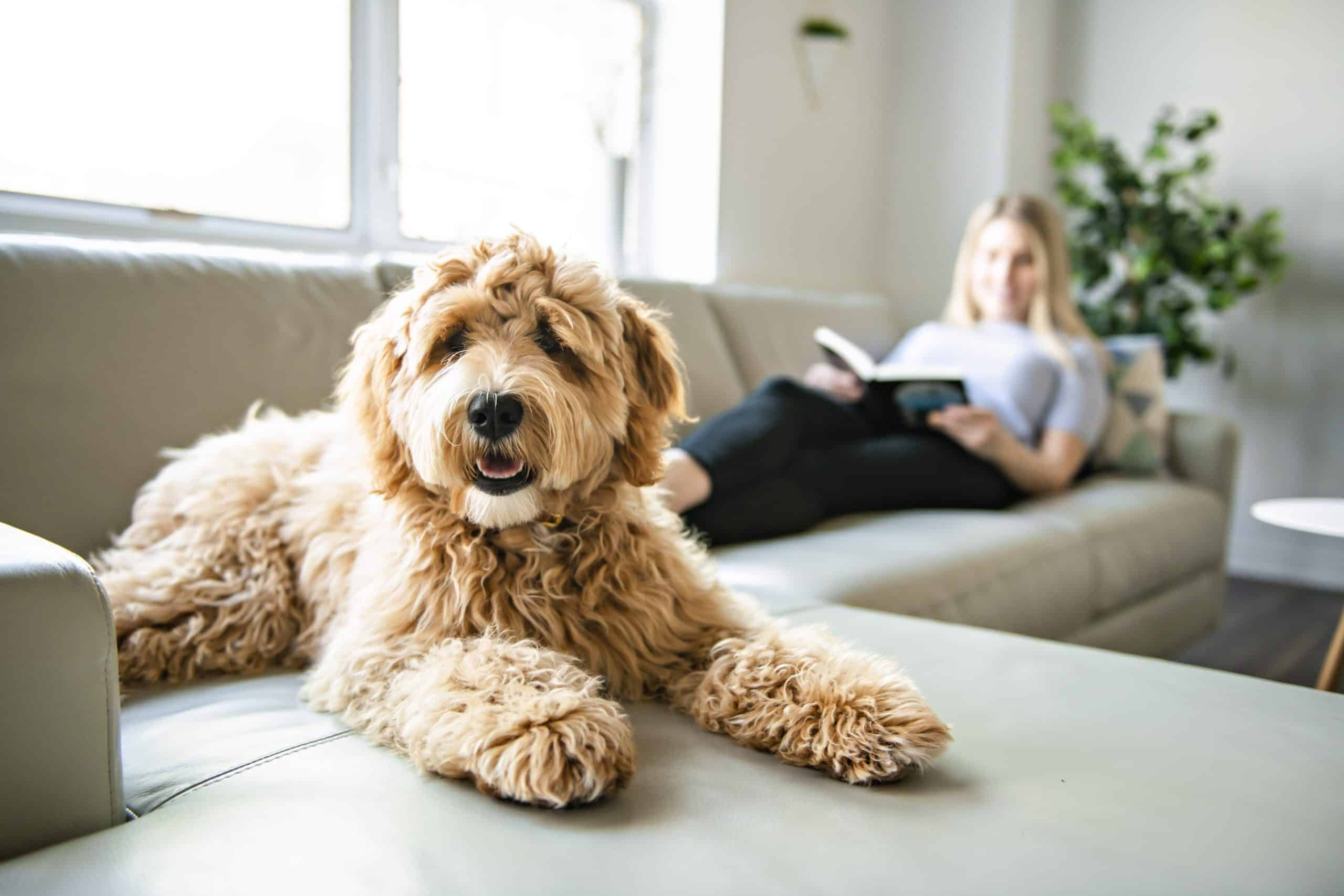The poodle is considered a hypoallergenic dog breed.