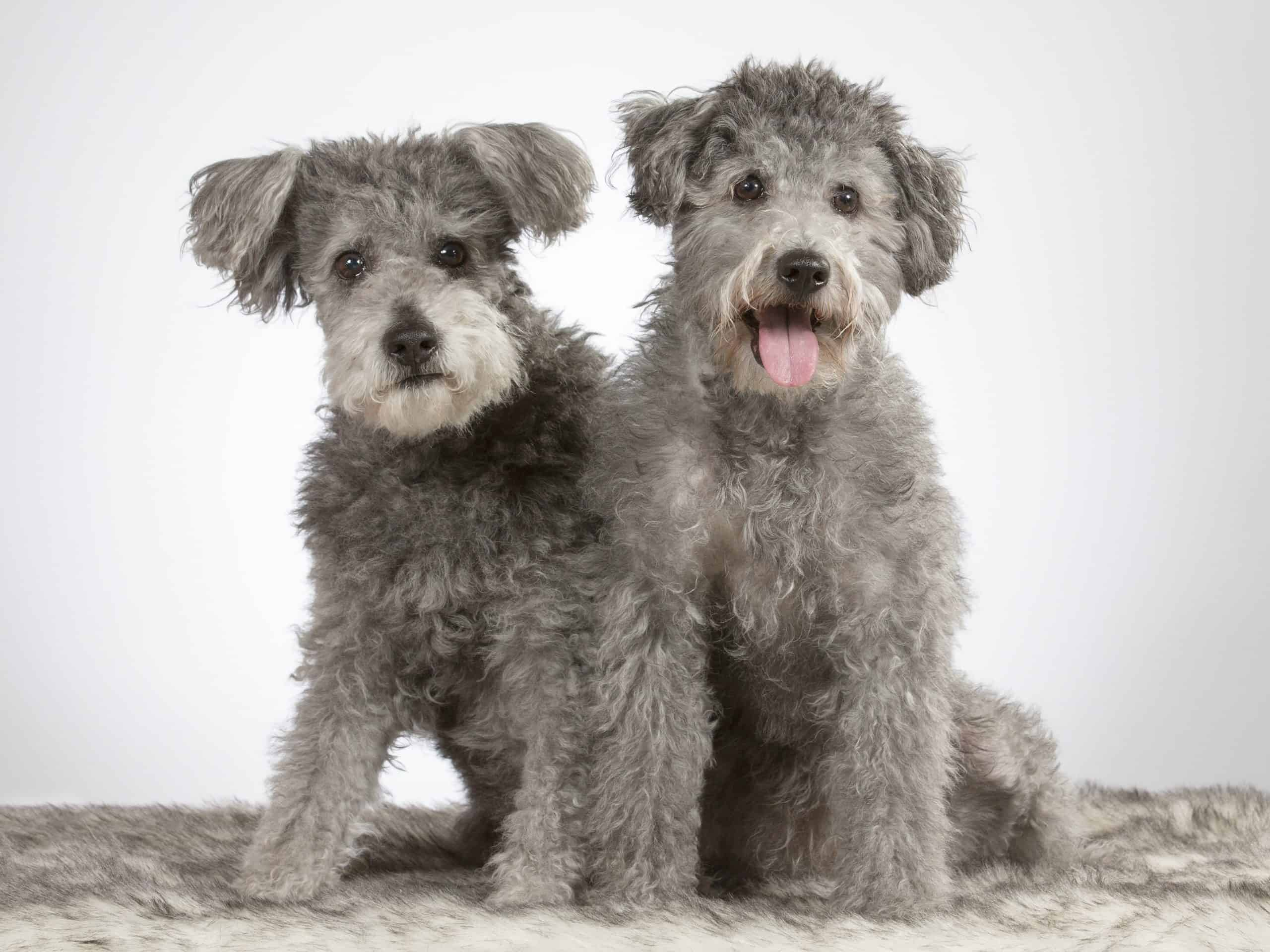 Two Pumi puppies. The pumi is considered a non-shedding dog breed.