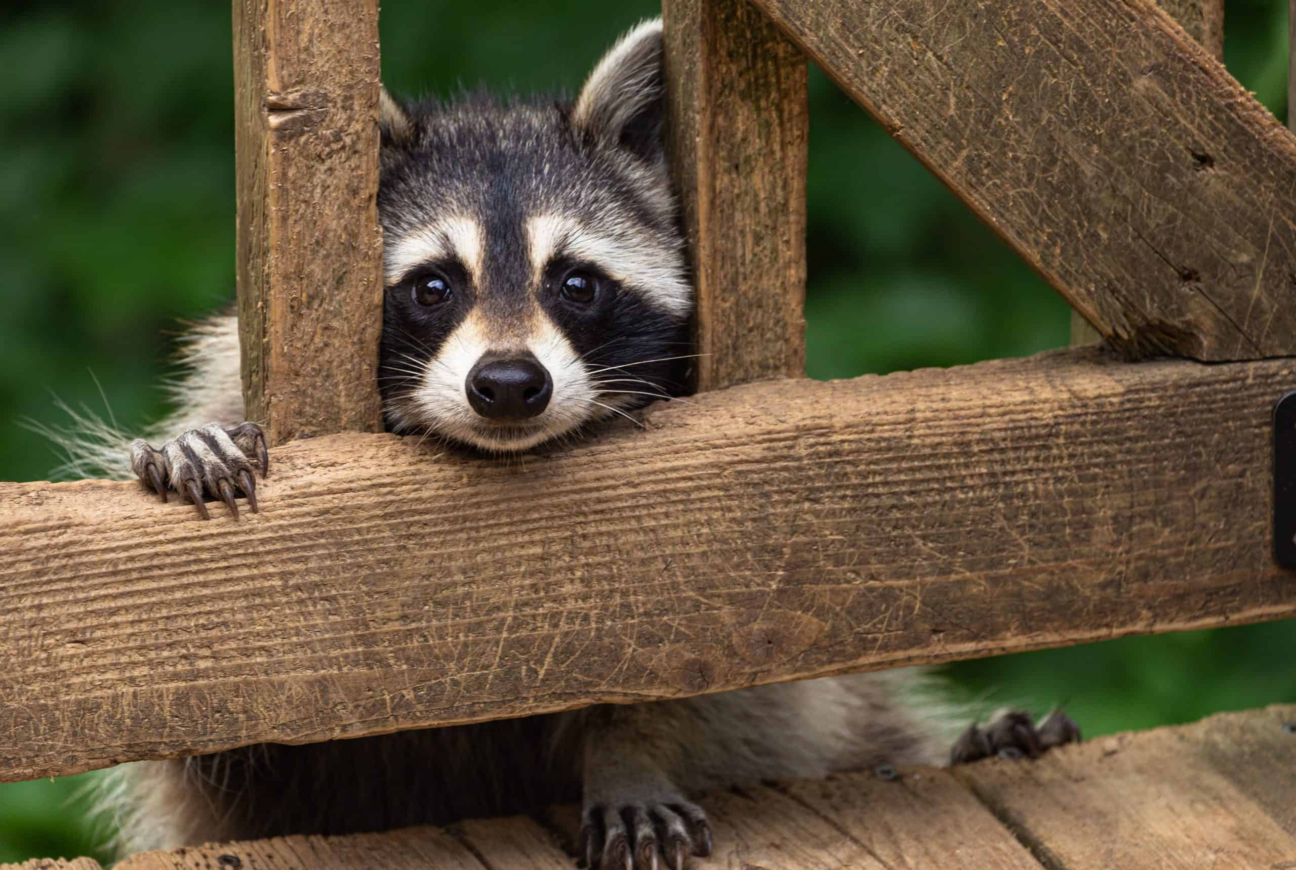 Raccoon peeks onto deck. Raccoons and other wildlife will eat pet food left outdoors. Protect your dog by feeding him indoors or by supervising outdoor meals.