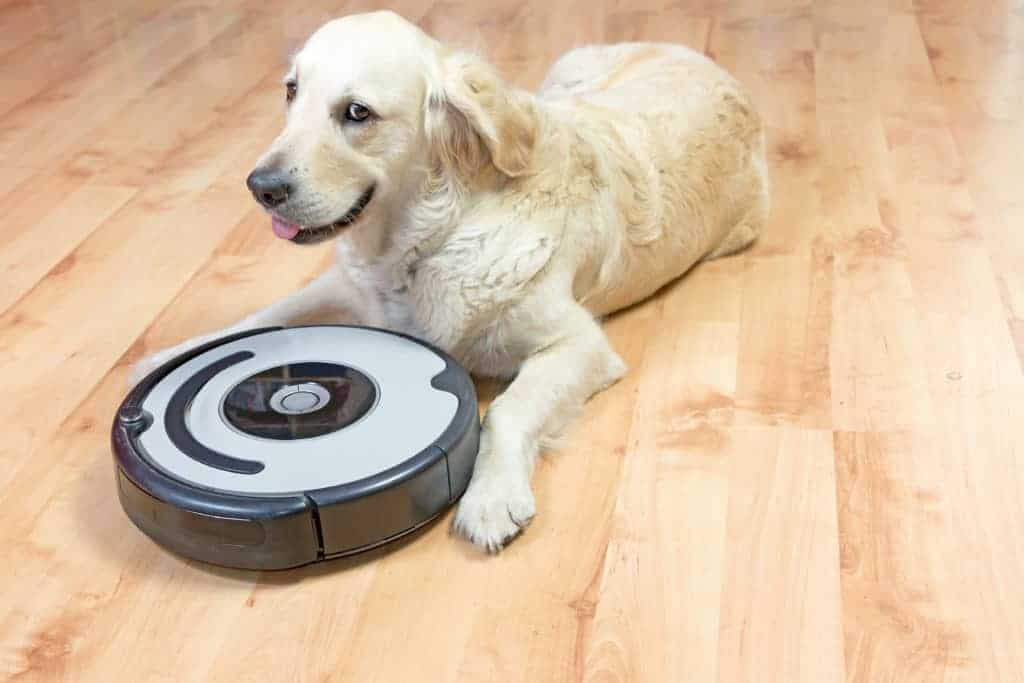 Golden retriever checks out robot vacuum. Most dogs can adapt to a robotic vacuum quickly unlike with a traditional vacuum.