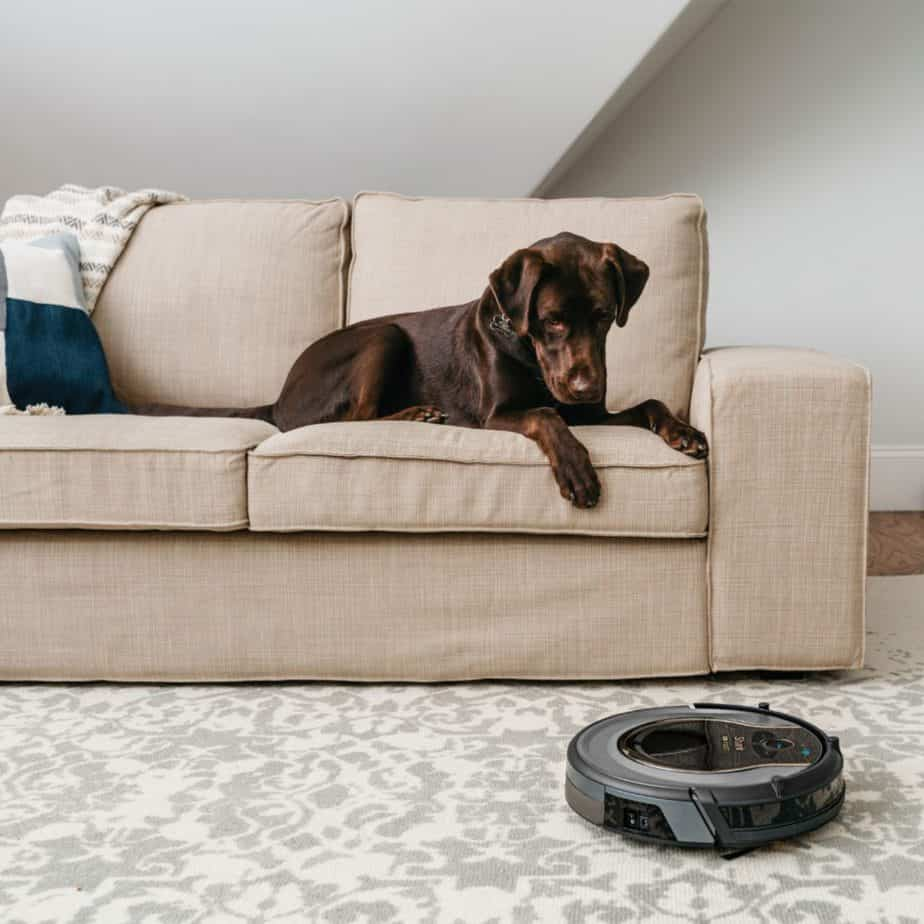 Chocolate Labrador retriever warily watches robot vacuum from his perch on the couch.