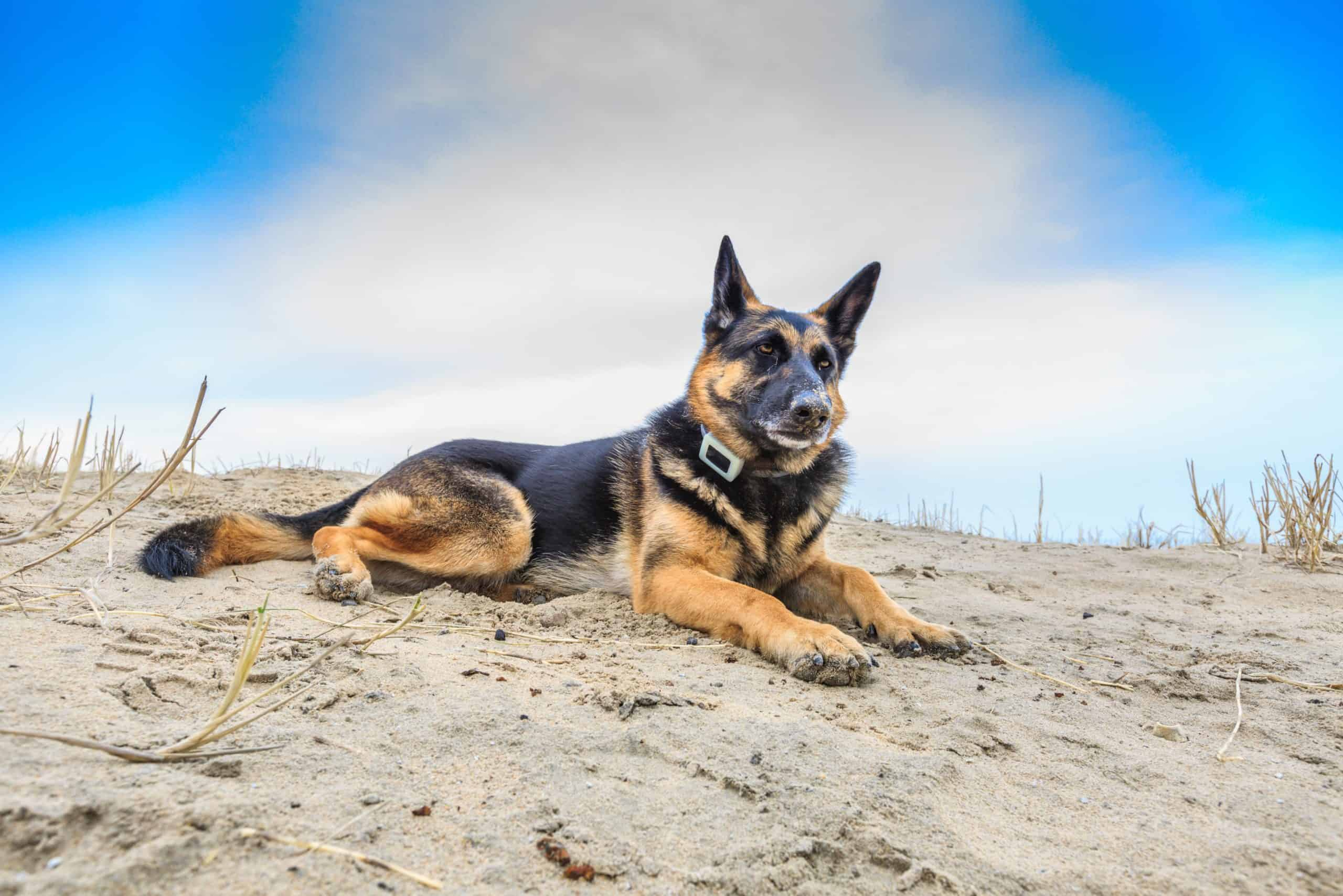 German shepherd wearing a smart dog collar with GPS tracker sits on the beach.