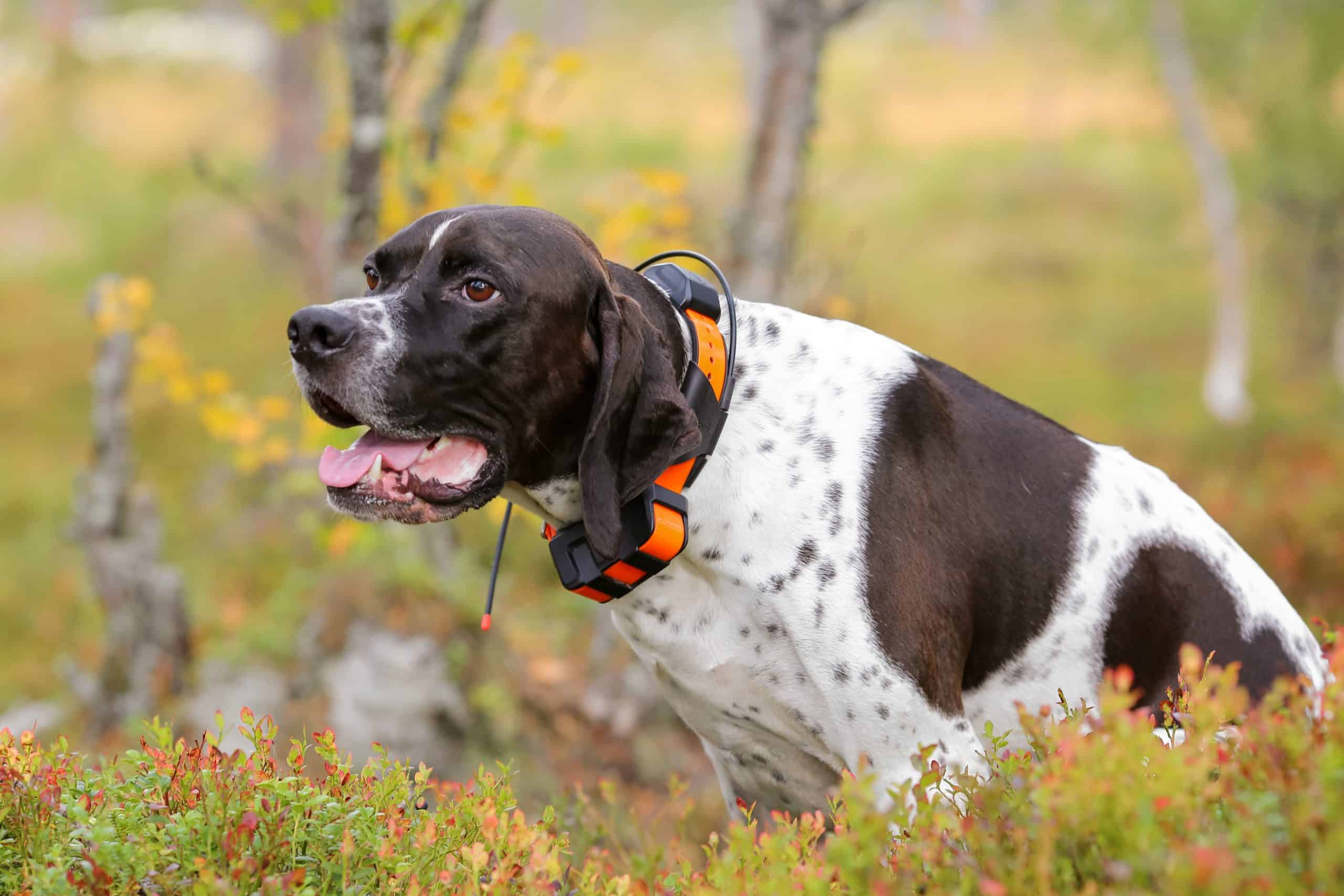 English springer spaniel wears a smart dog collar with GPS.