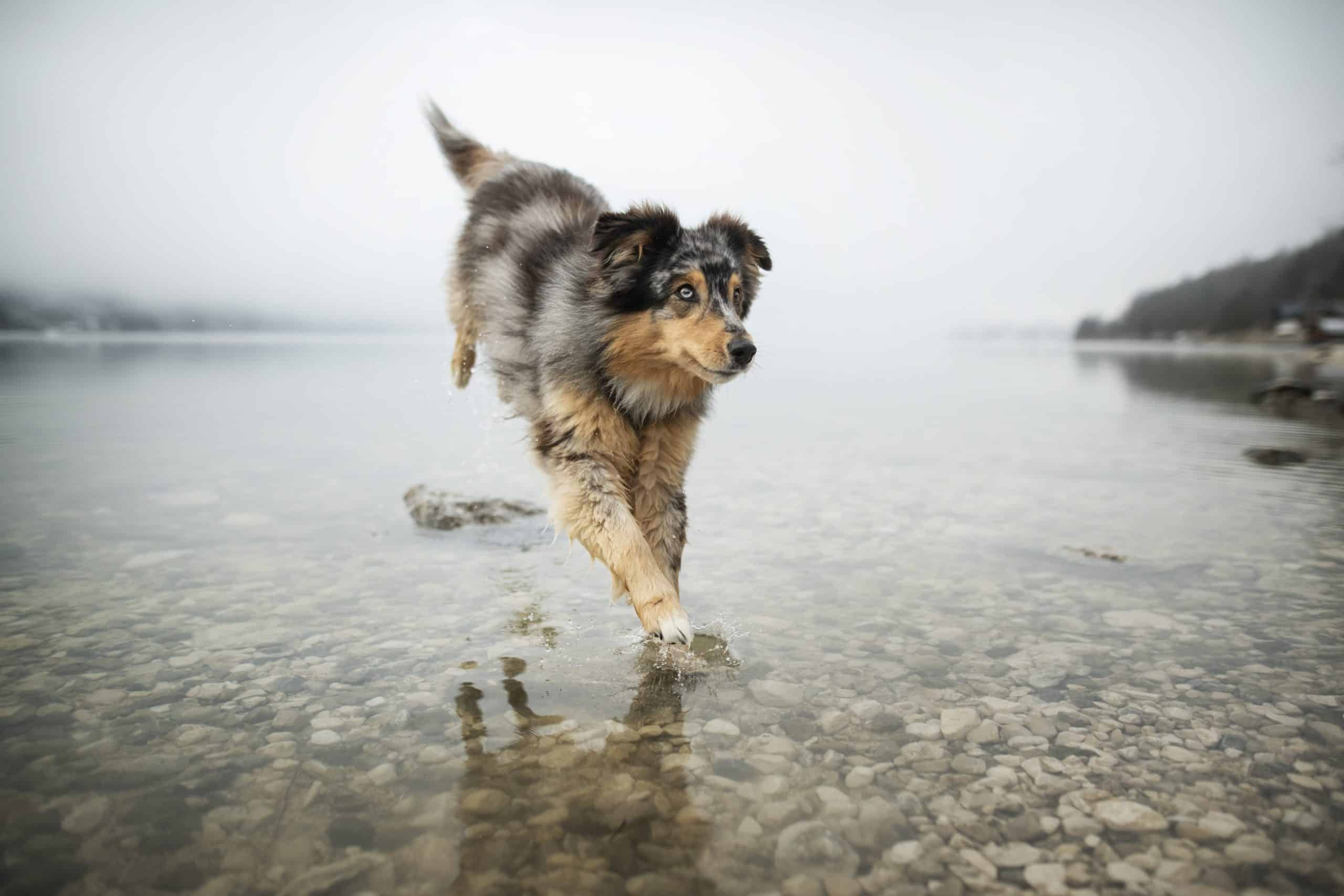 Australian Shepherd runs in lake. One of the most active dog breeds, Aussies are incredibly smart and athletic herding dogs.