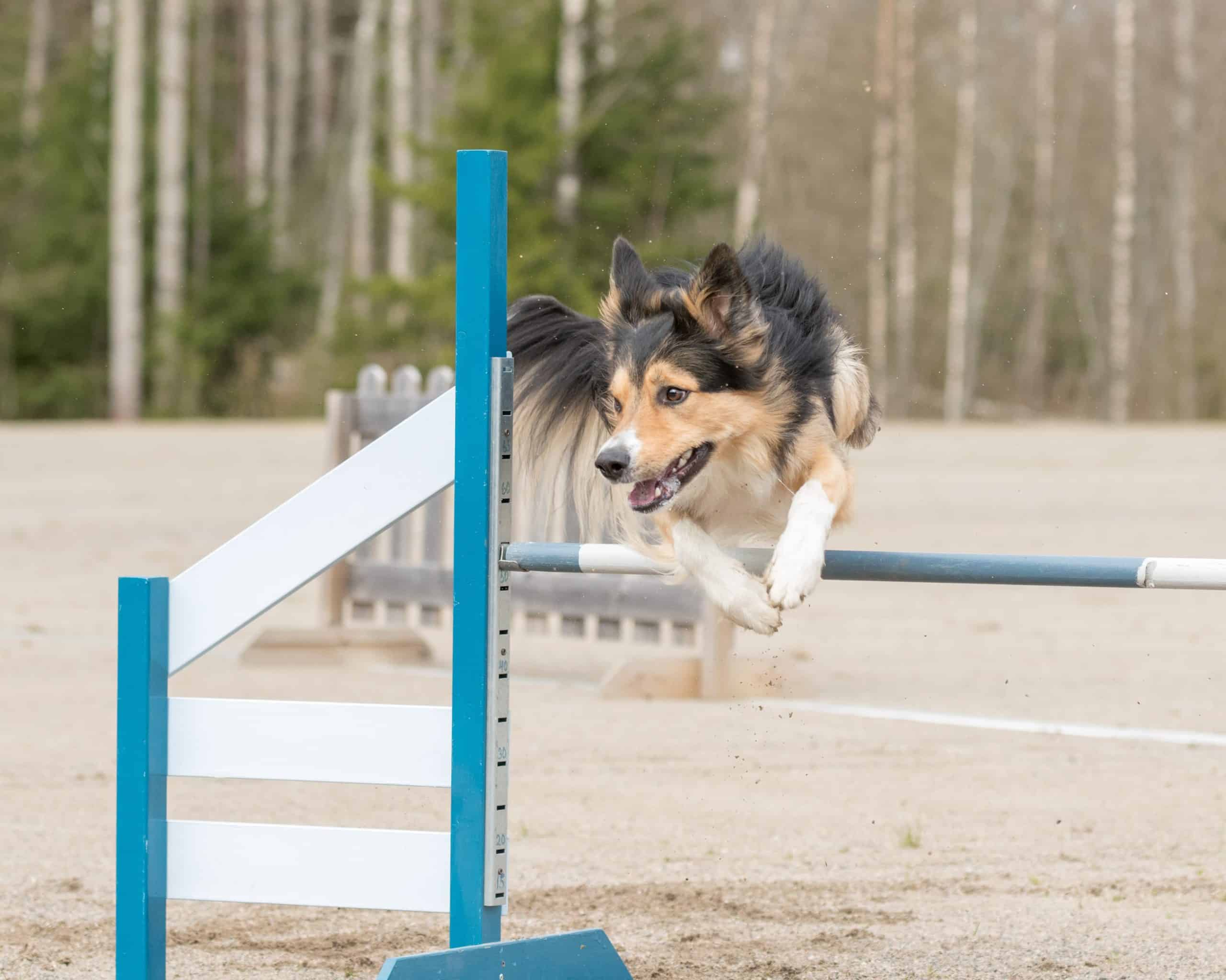Border Collie runs an agility course. The Border Collie is one of the most popular of the active dog breeds.