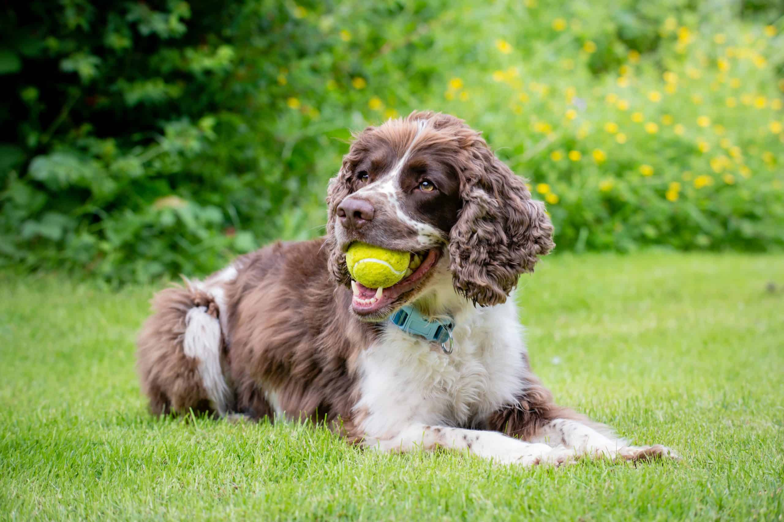 English springer spaniel holds tennis ball in its mouth. The English springer spaniel is an active dog breed that's every bit as athletic and energetic as their name would suggest.