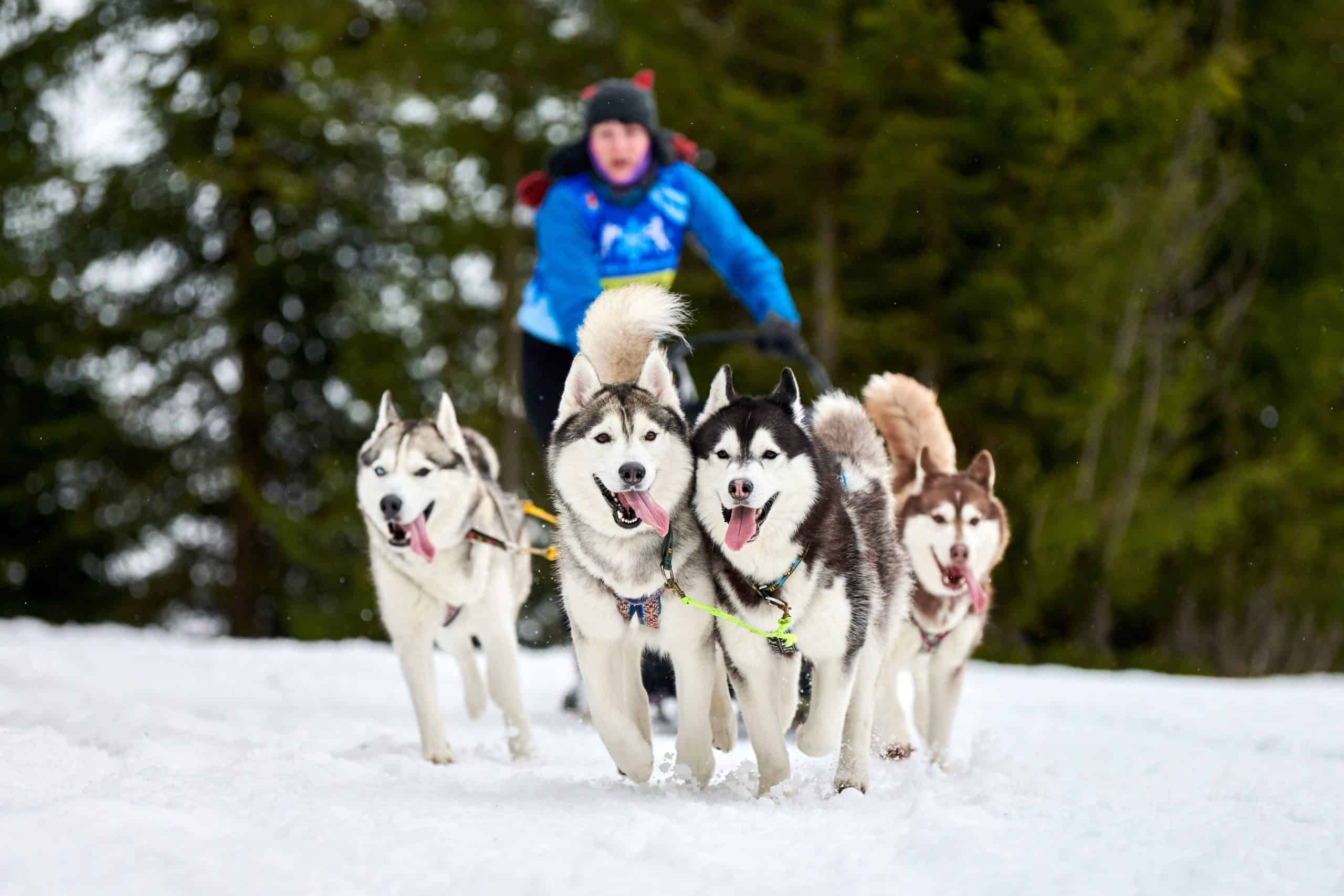A team of Siberian huskies pulls a sled. These dogs are among the most athletic of the active dog breeds.