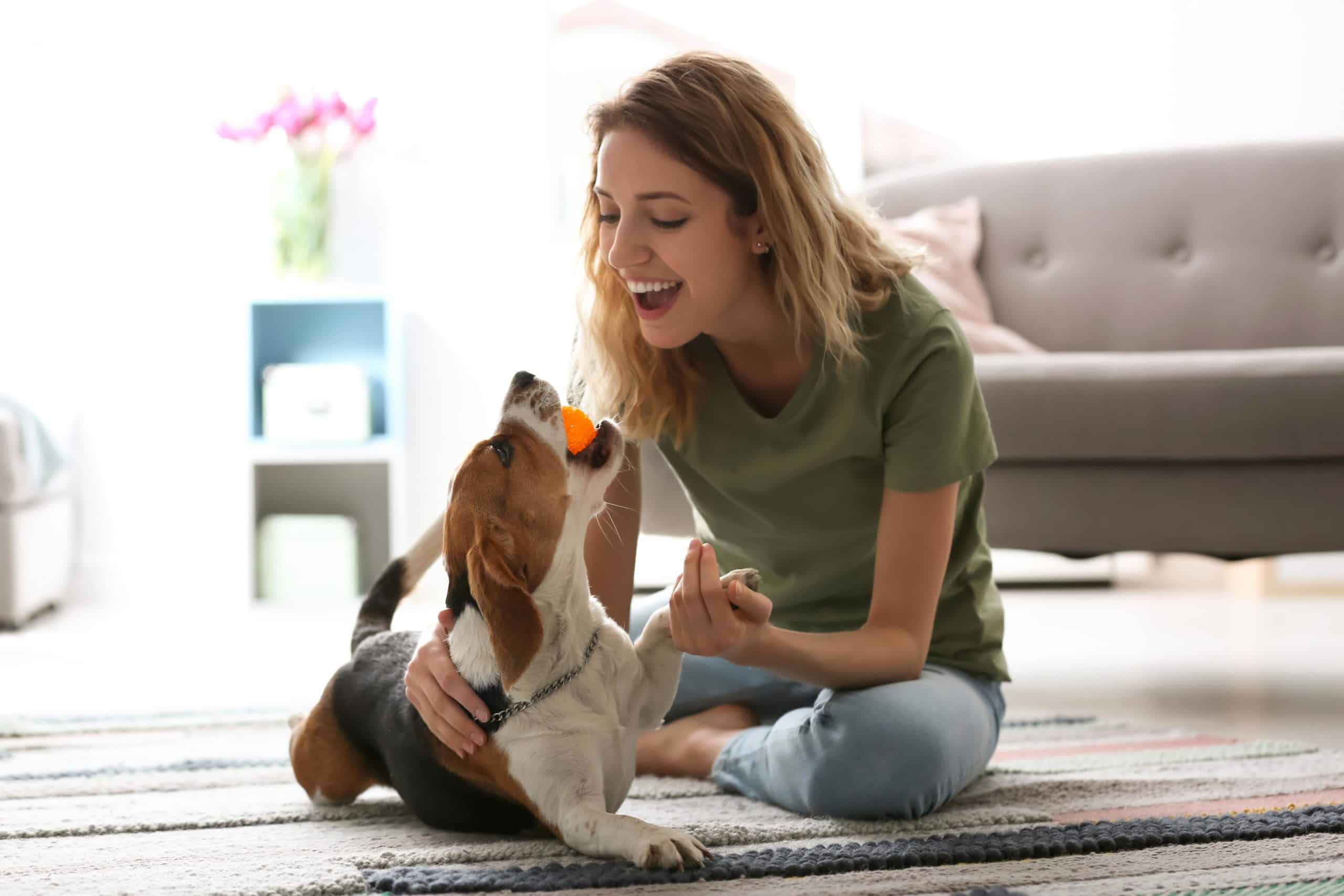 Woman plays fetch with her beagle. Looking for an exercise partner? Choose from the 12 top active dog breeds including the beagle.