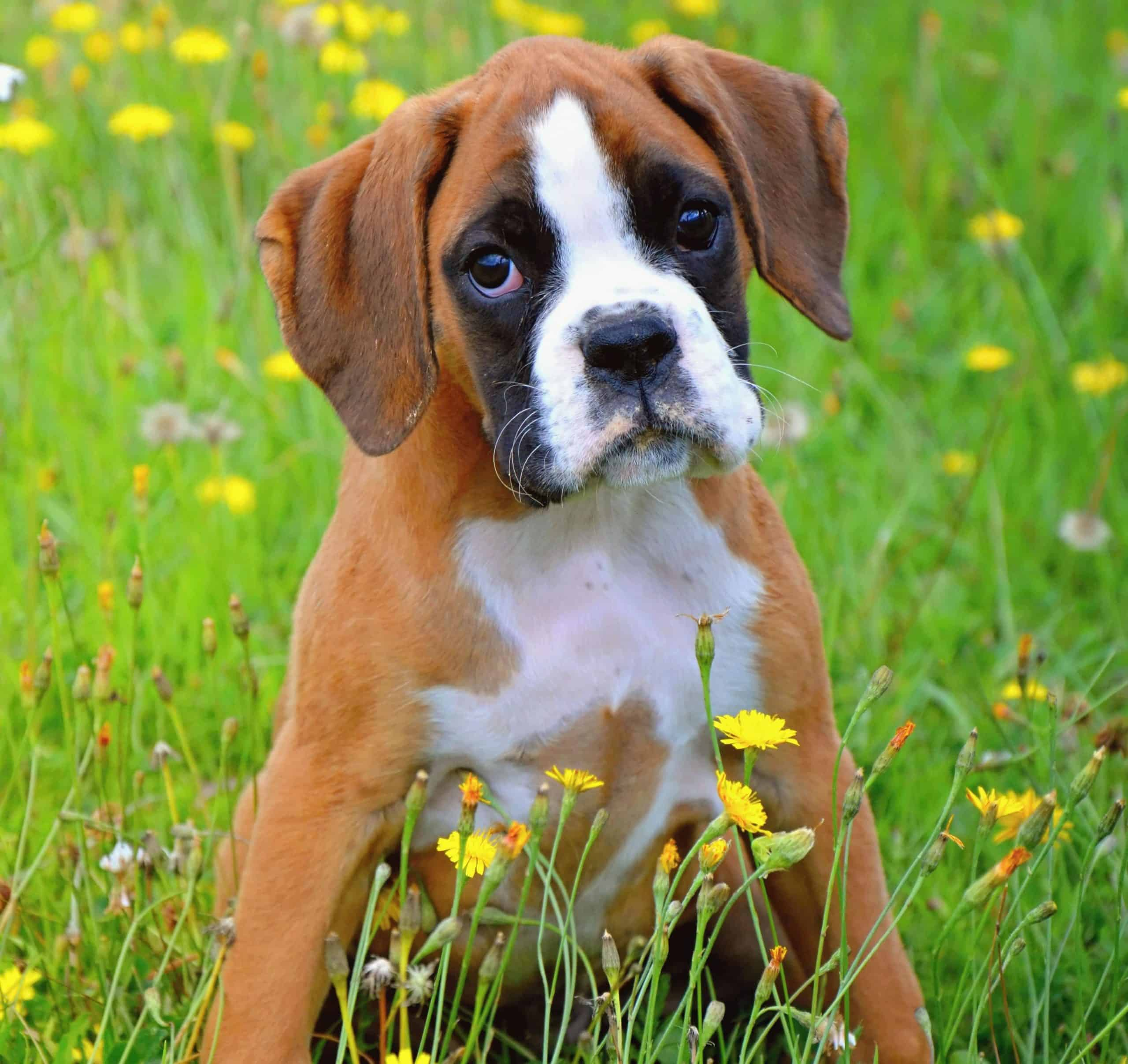 Happy boxer puppy sits in a field. One of the most active dog breeds, Boxers are known not only for their sporty builds but for their silly and fun-loving personalities.