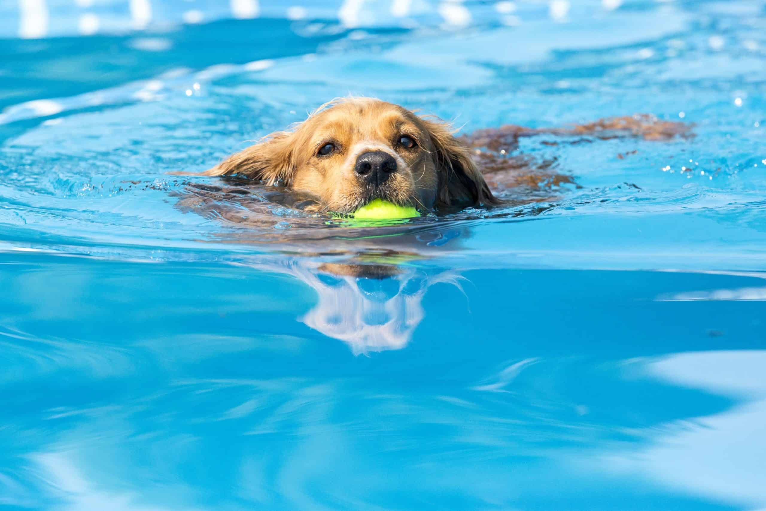 Labrador retriever swims while holding a tennis ball.