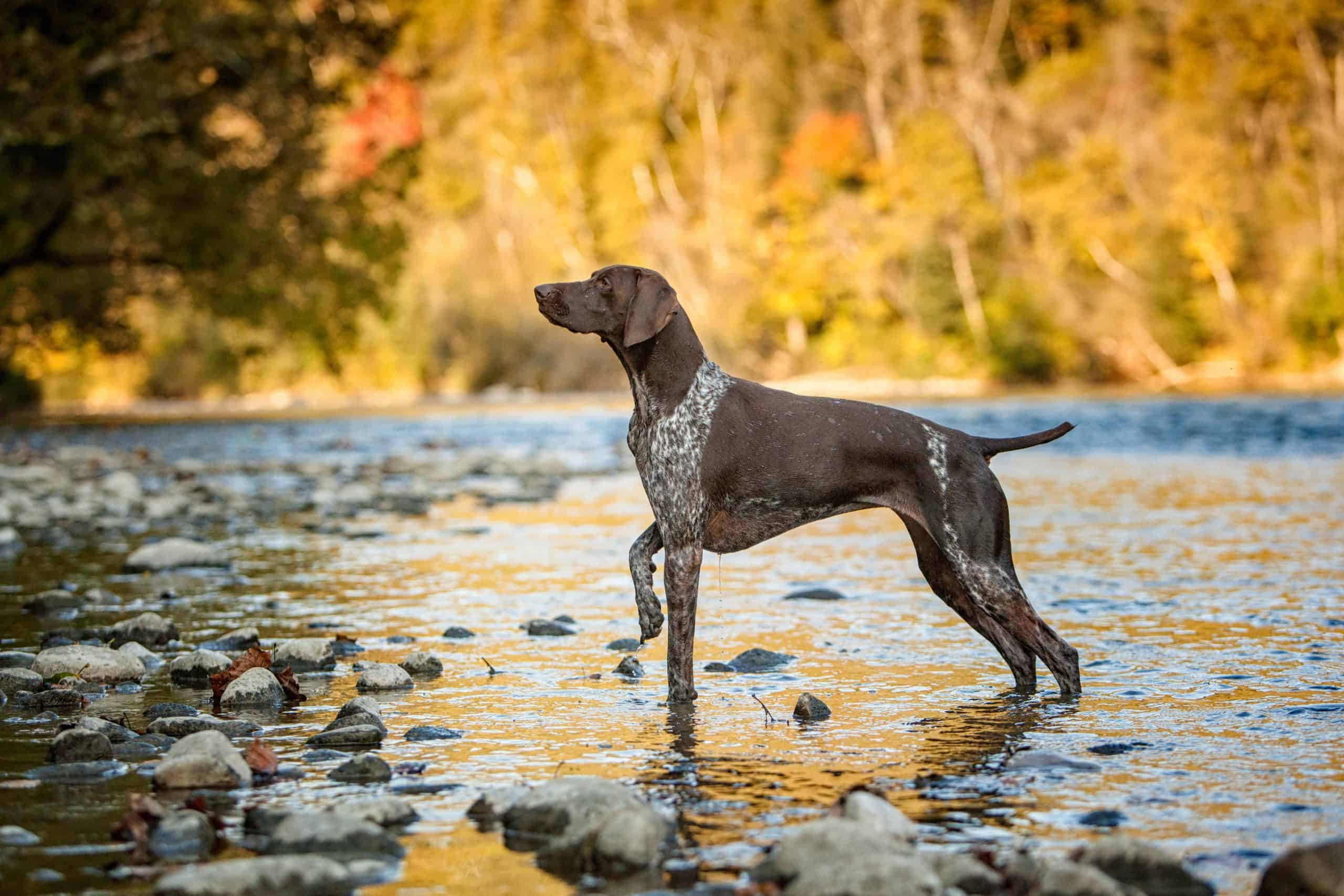 The German short-haired pointer is a popular hunting dog.