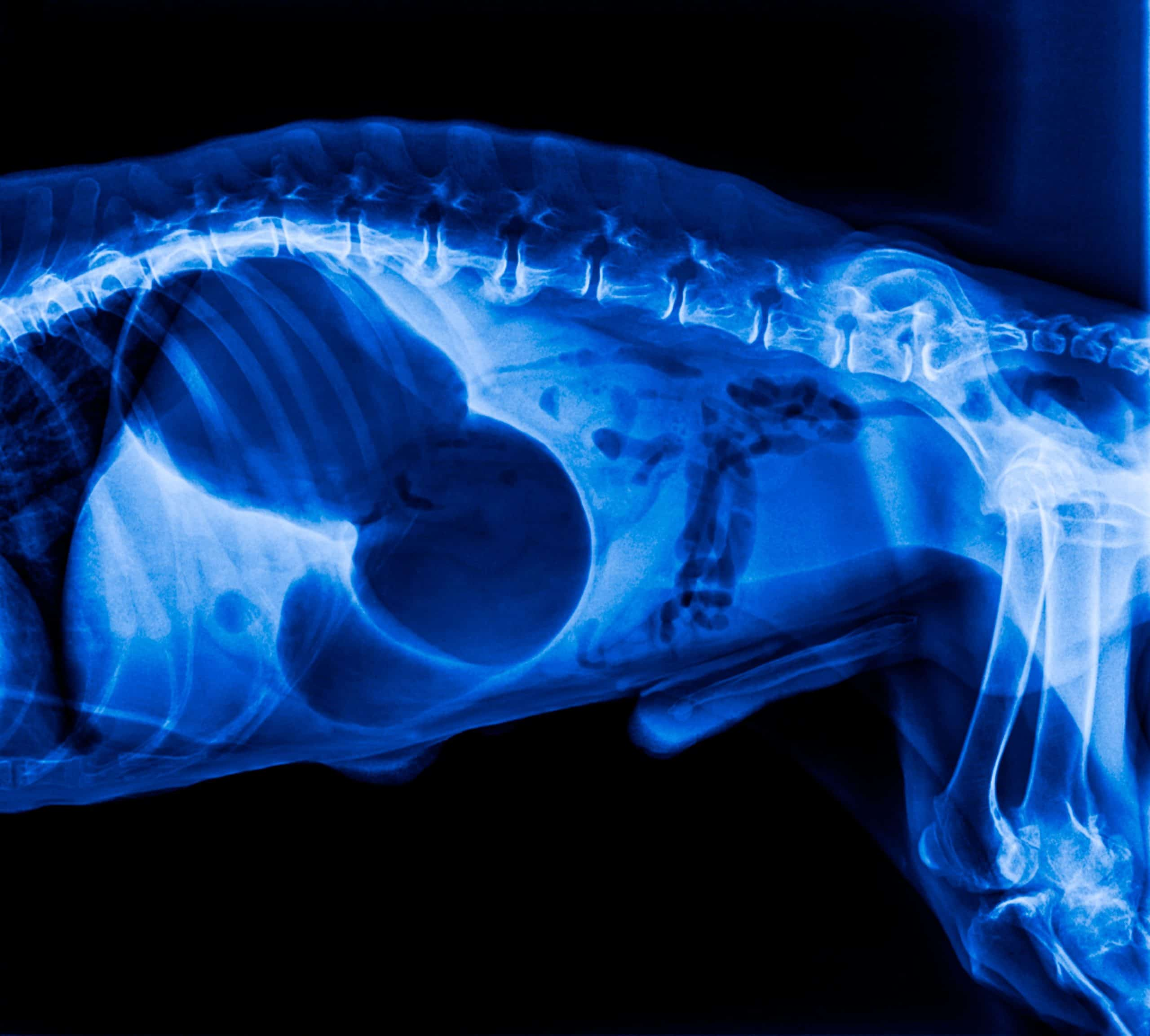 X-ray shows canine bloat otherwise known as a twisted stomach or Gastric Dilatation Volvulus.