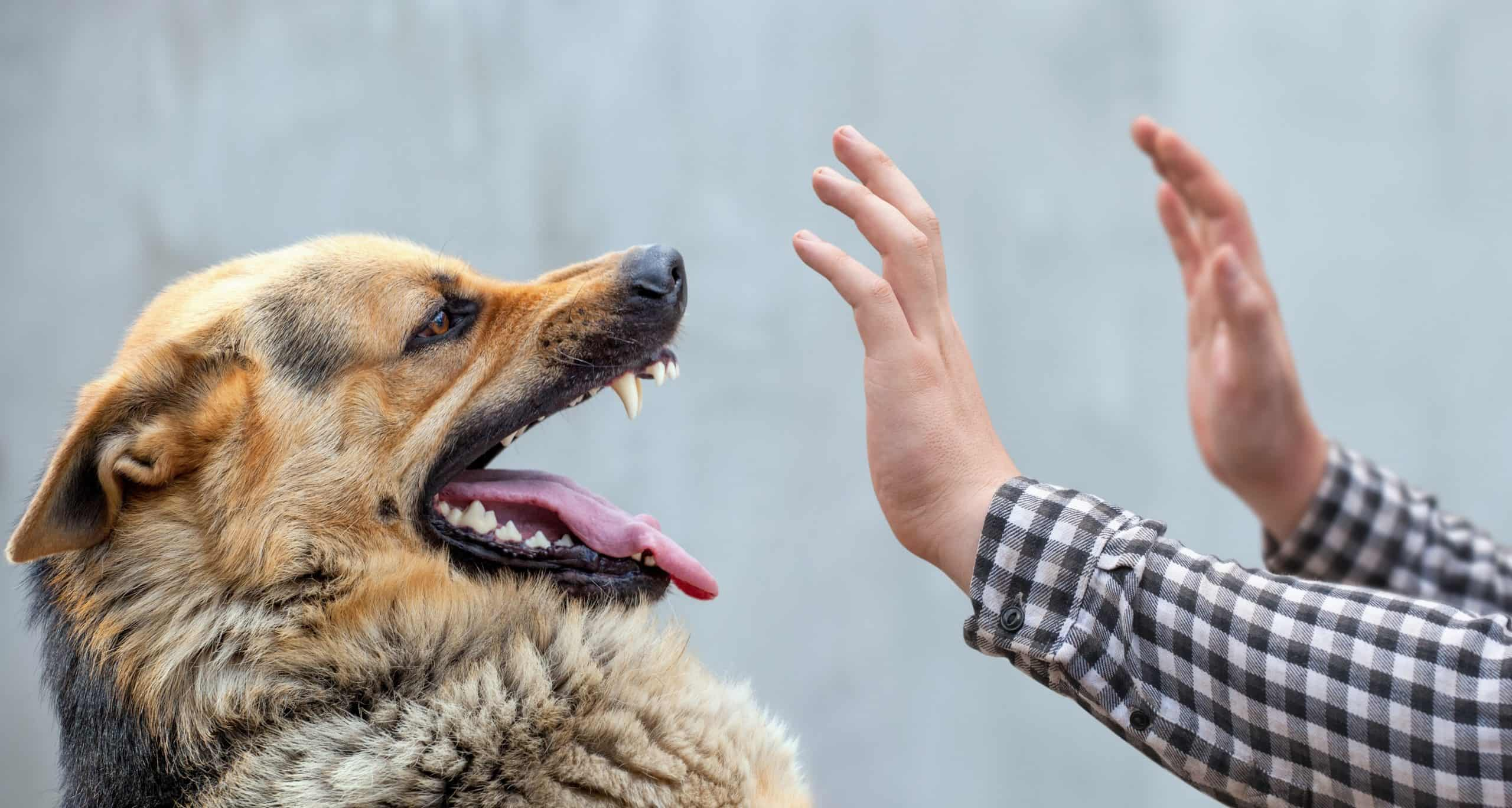 Man holds up his hands to calm an angry dog. Dog biting: Understand the common reasons why your dog might bite including playfulness, anxiety, illness or defending their territory.