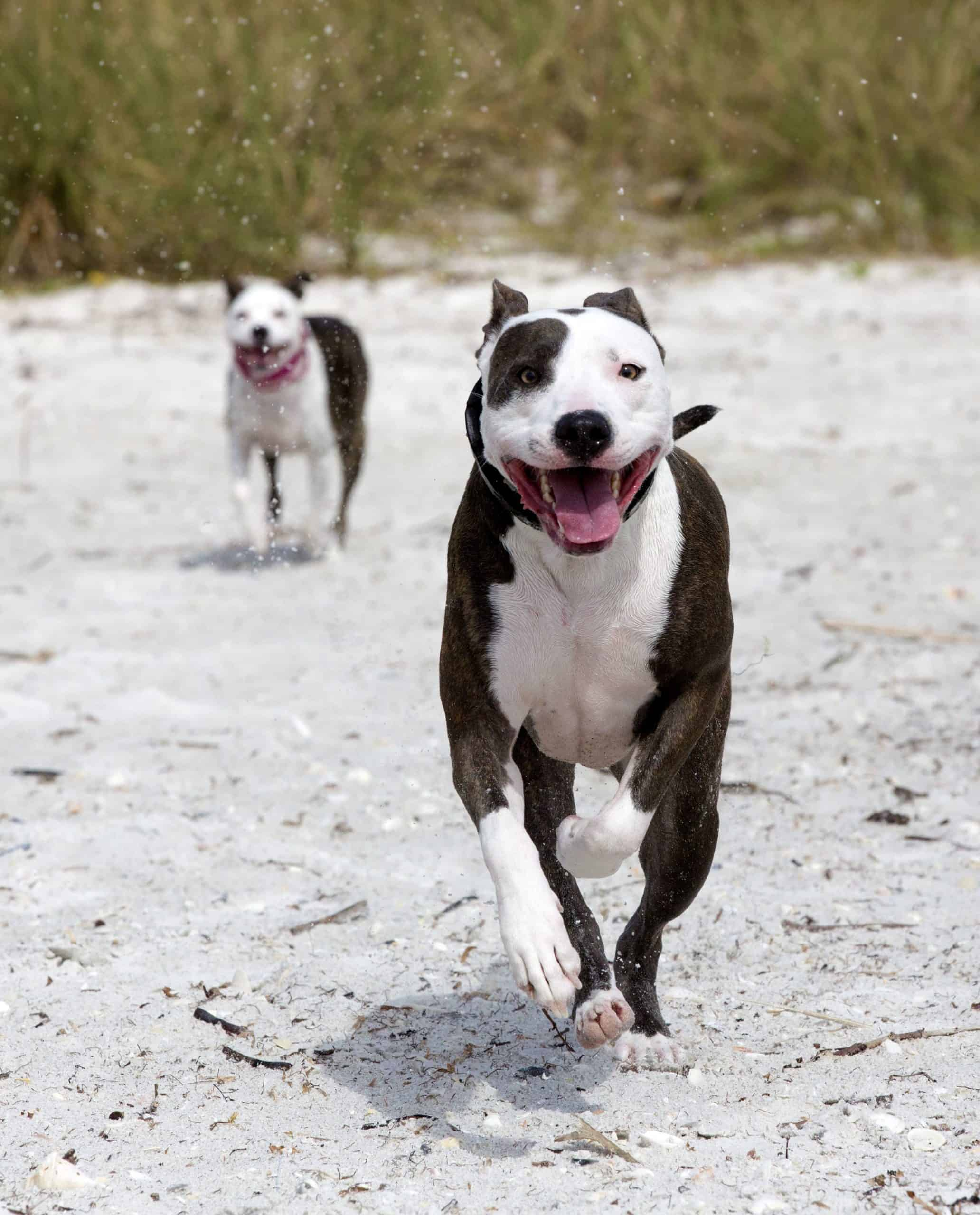 A Great Danebull, a Great Dane-pit bull mix, runs on the beach. The Great Danebull is an active breed that requires daily exercise. They are big, lovable, loyal, and protective.