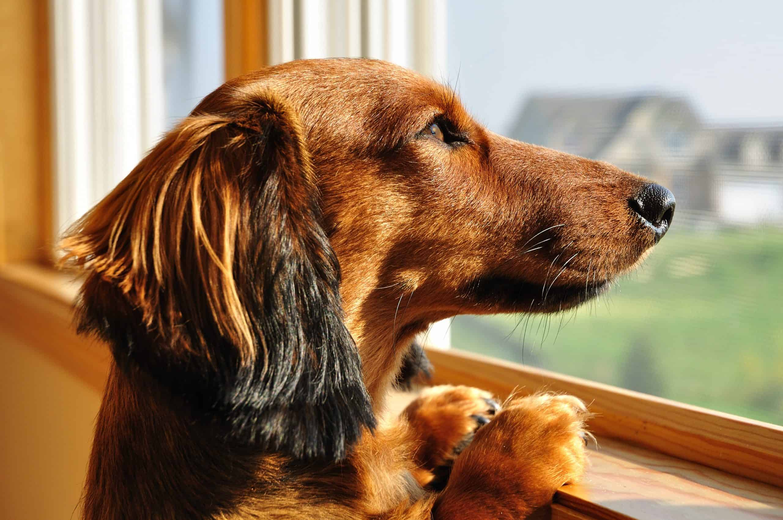 Dachshund looks out the window. Because they are companion animals, most dogs want to spend time with their humans and struggle when left home alone for extended periods.