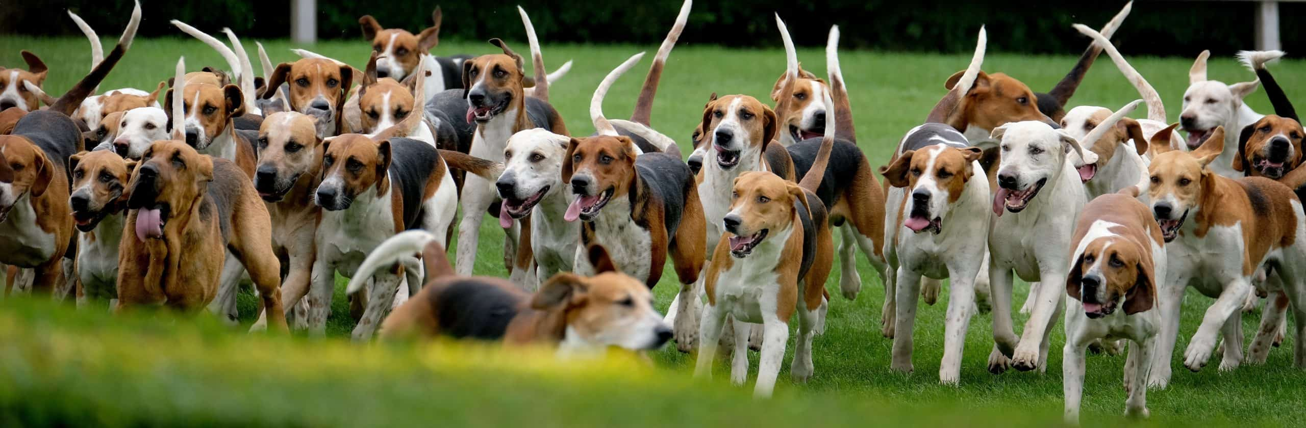 Group of American Foxhounds ready for the chase. Hound dogs like American foxhounds have a strong drive to follow a scent, which can distract the dogs and make it hard to train them.