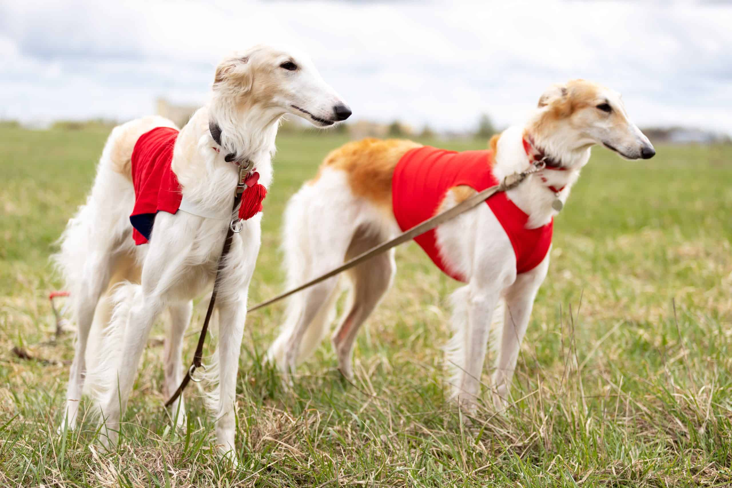 Pair of Borzoi dogs leashed outside. Sighthounds like the Borzoi were bred to hunt by sight and have the ability to creep up swiftly and silently.