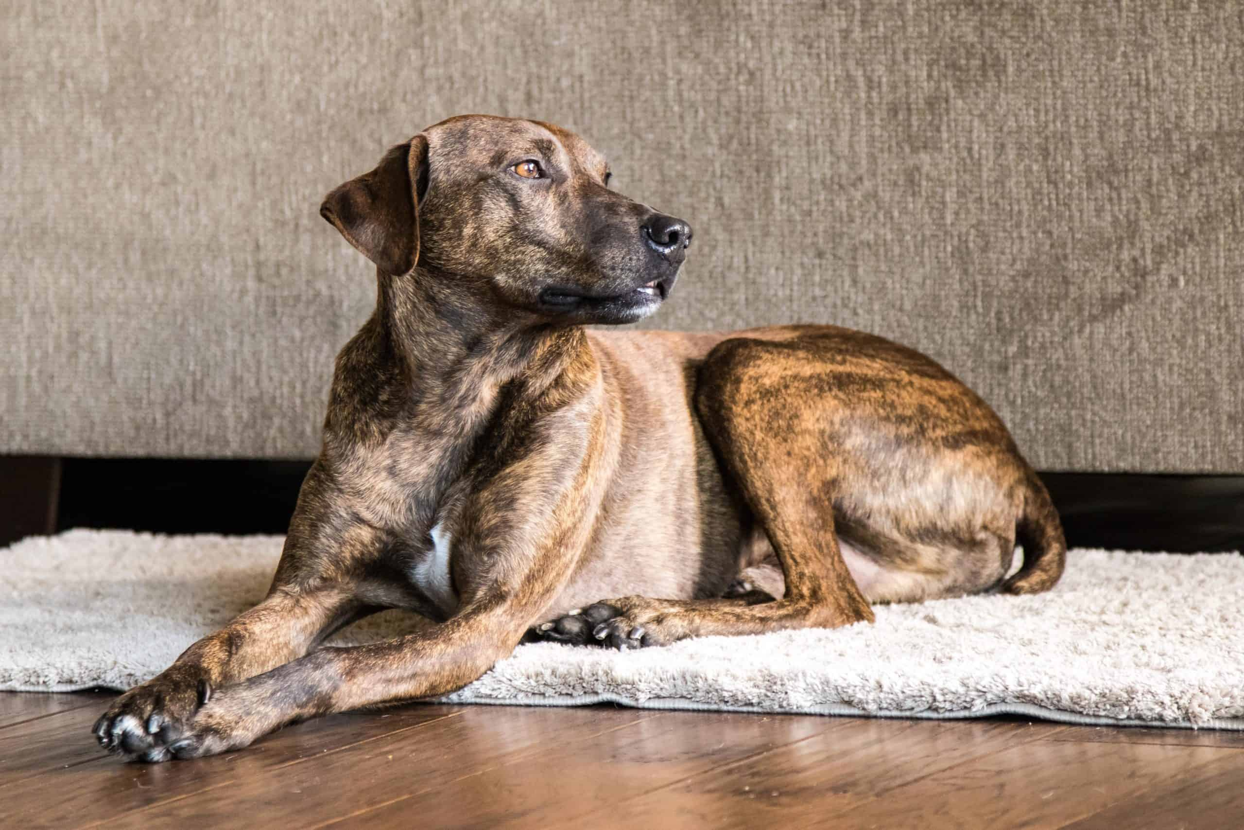 Plott hound relaxes on rug at home. Large game hounds like the Plott hound were bred to have stamina, strength, and endurance.
