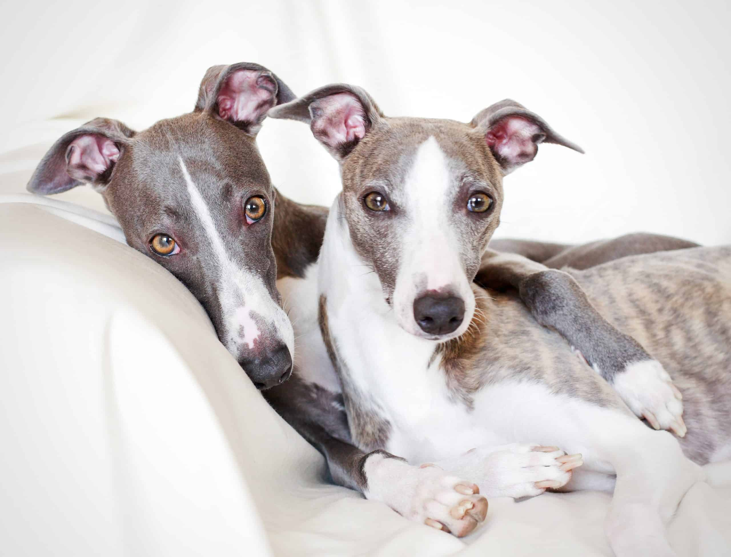 Pair of whippets snuggles together. The whippet resembles a small greyhound. The dogs are affectionate, intelligent, sweet-natured, and loyal.