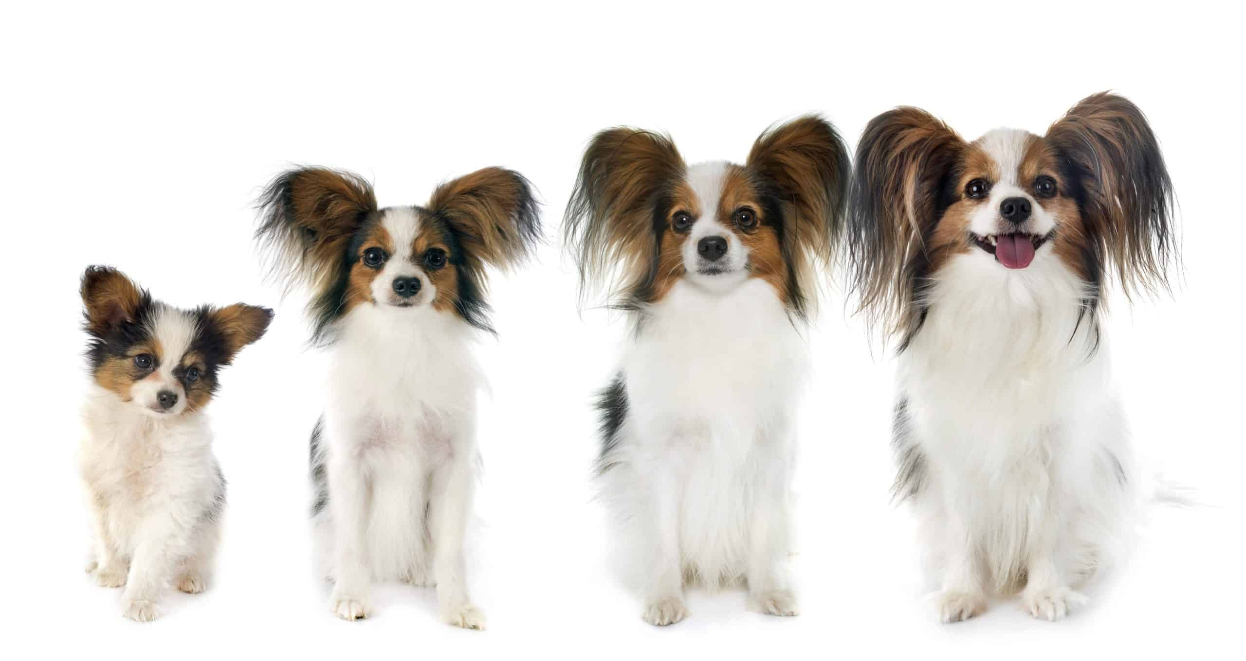 Photo illustration shows Papillon from puppy to full grown.