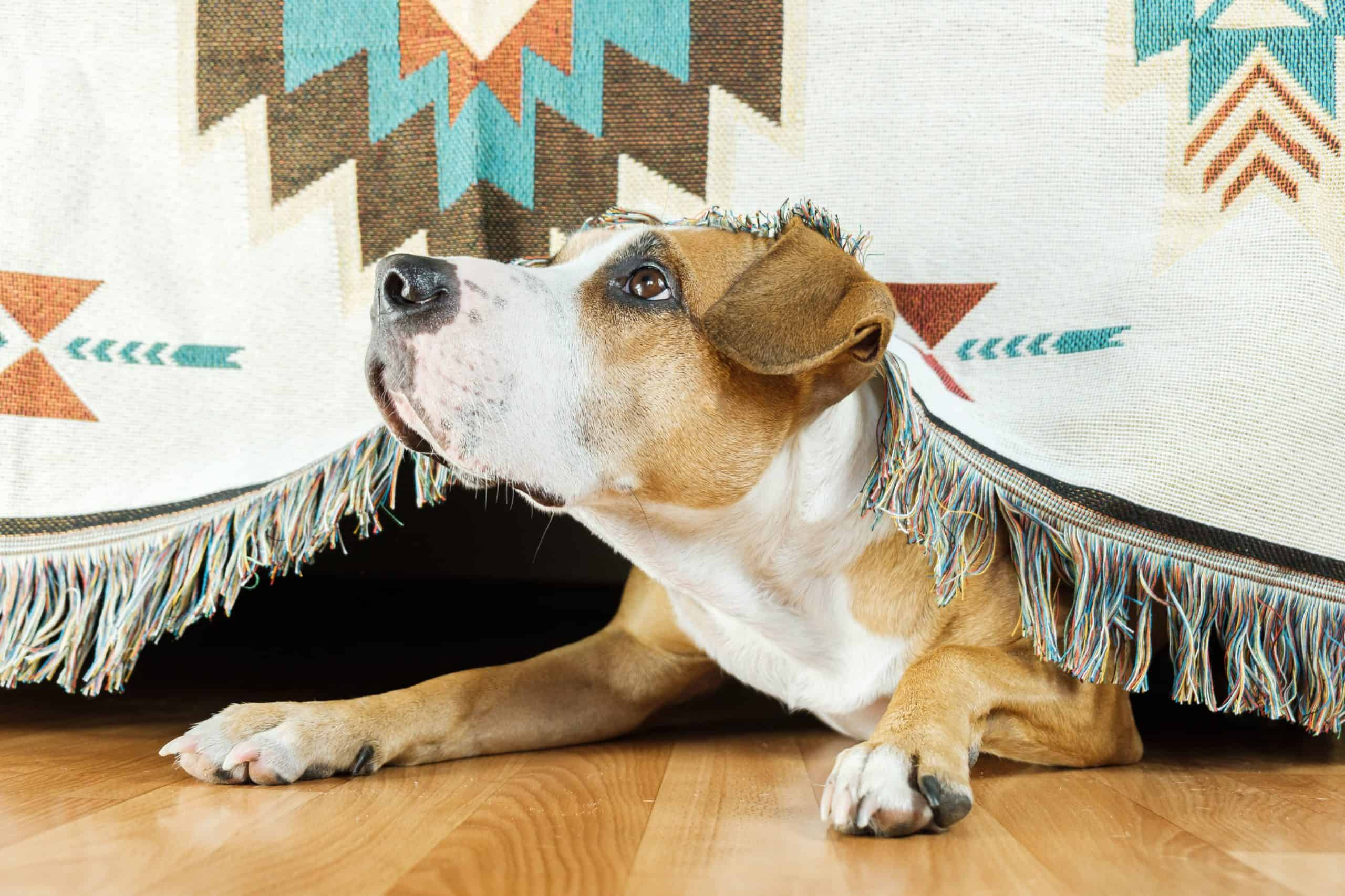 Dog peeks out from under table. Signs of anxiety in dogs can be obvious, like nonstop barking and chewing, or more subtle, like excessive yawning, hiding, or escaping.