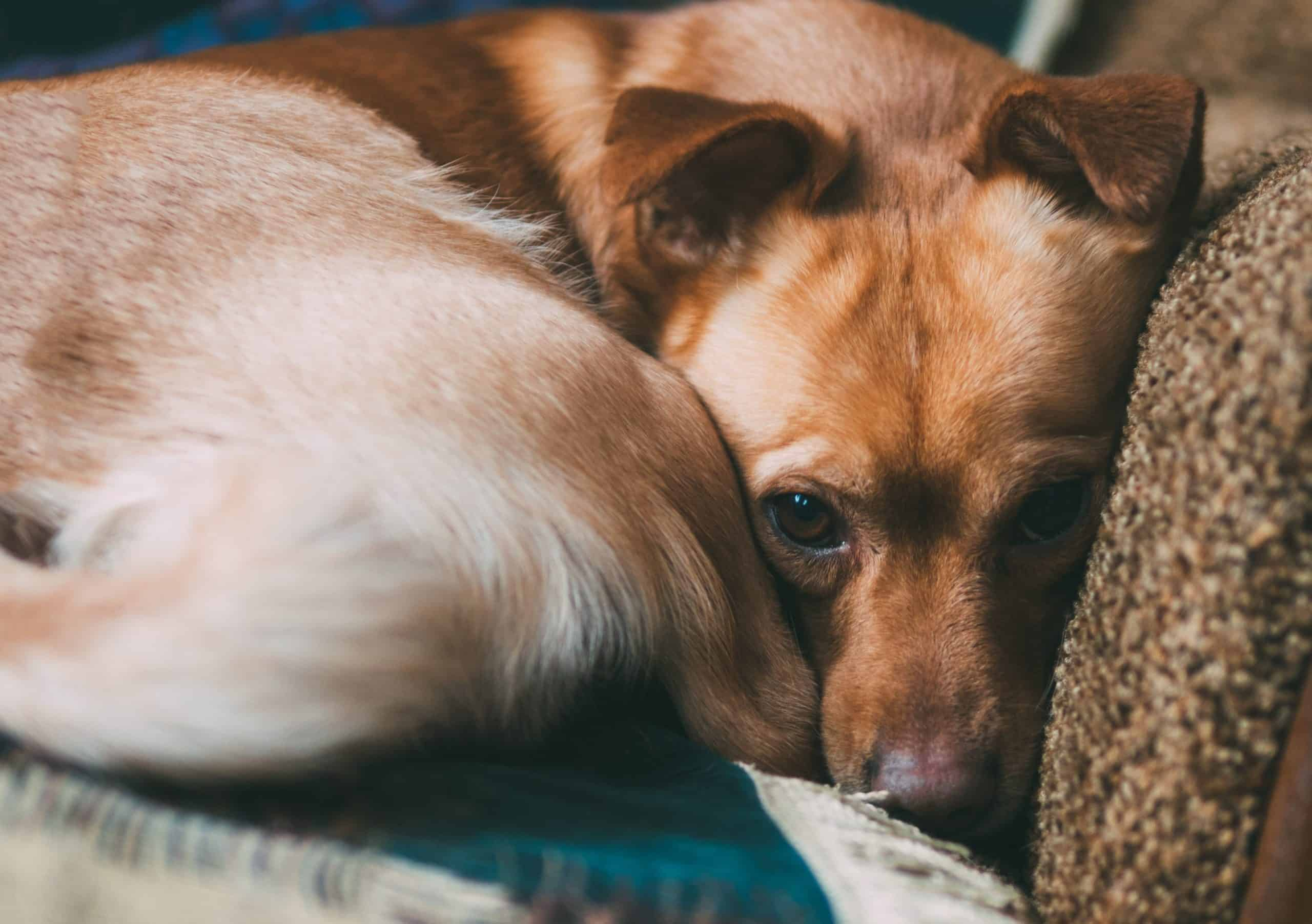 Nervous dog curled up on couch. Excessive yawning might seem like a sign your dog is sleepy but can be a warning sign of anxiety.