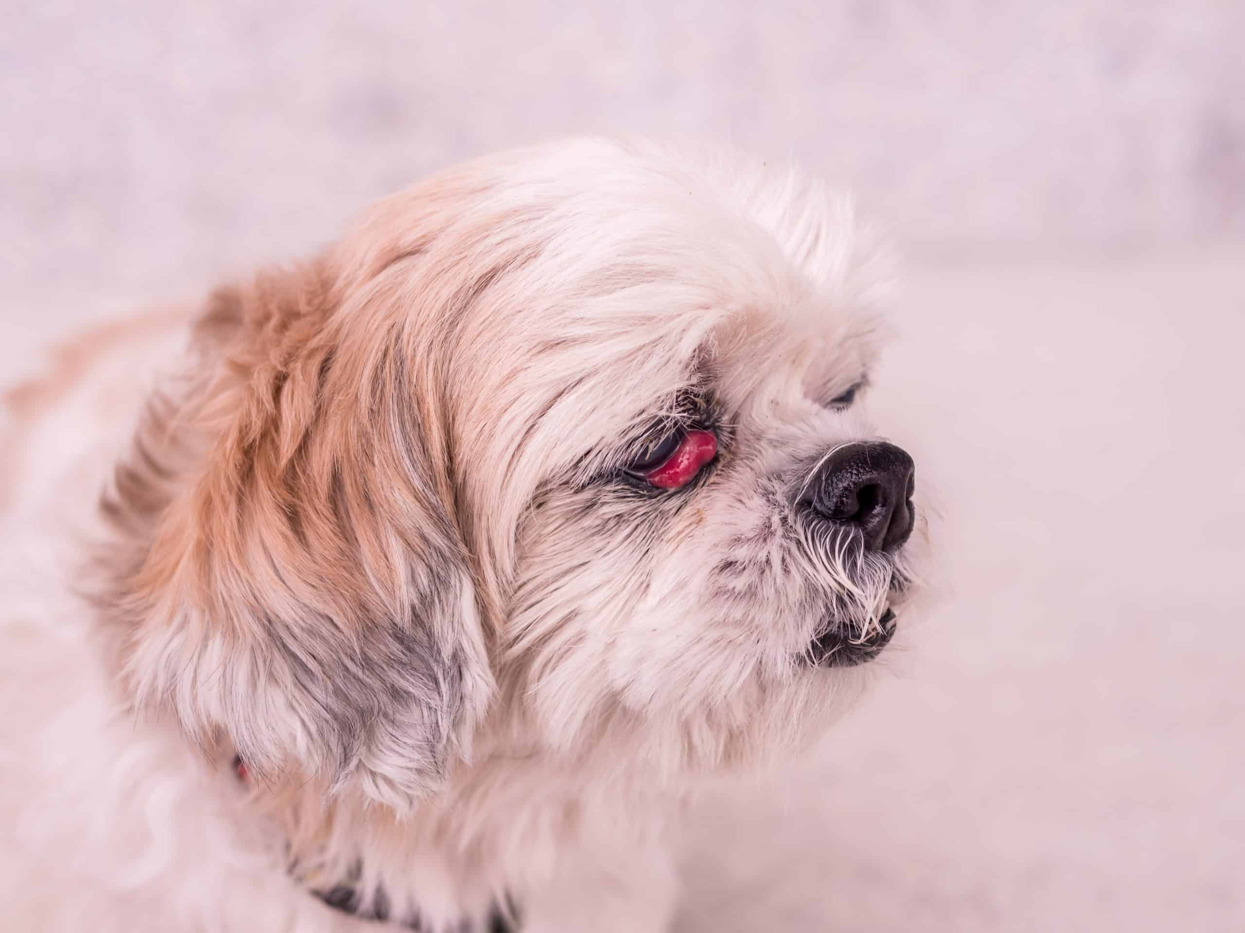 Cherry eye is common in cocker spaniels, beagles, and English bulldogs. The condition occurs when the third eyelid prolapses.