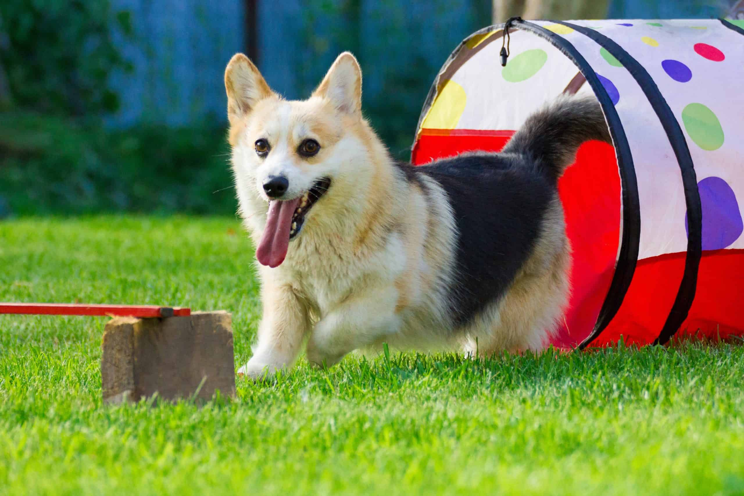 Happy corgi exits dog agility training tunnel.
