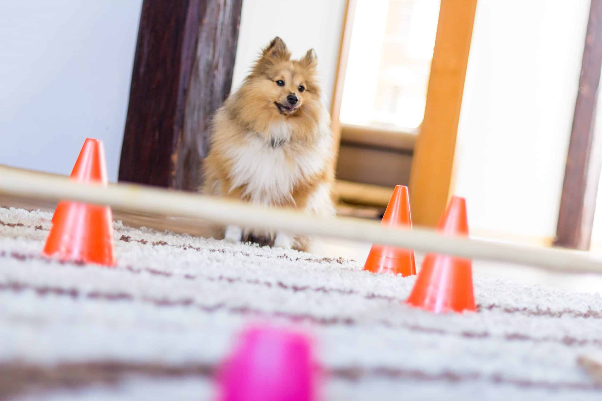 Sheltie navigates an agility training course at home.