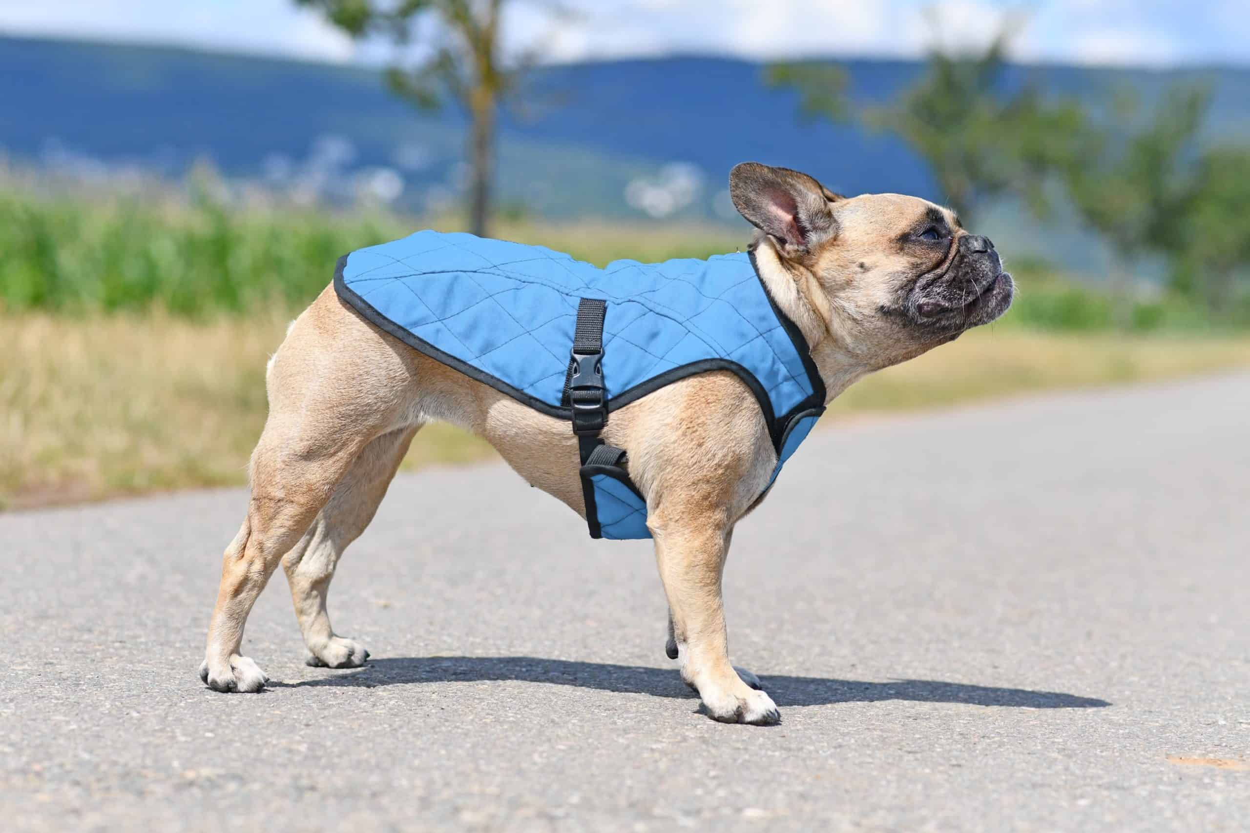 French bulldog models cooling vest. Health products for dogs like cooling vests help keep dogs cool on hot days.