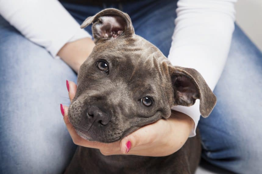Woman holds pitbull puppy's head. Since the dogs can be territorial, use designated food and water bowls to feed your pitbull and incorporate obedience training in mealtimes.