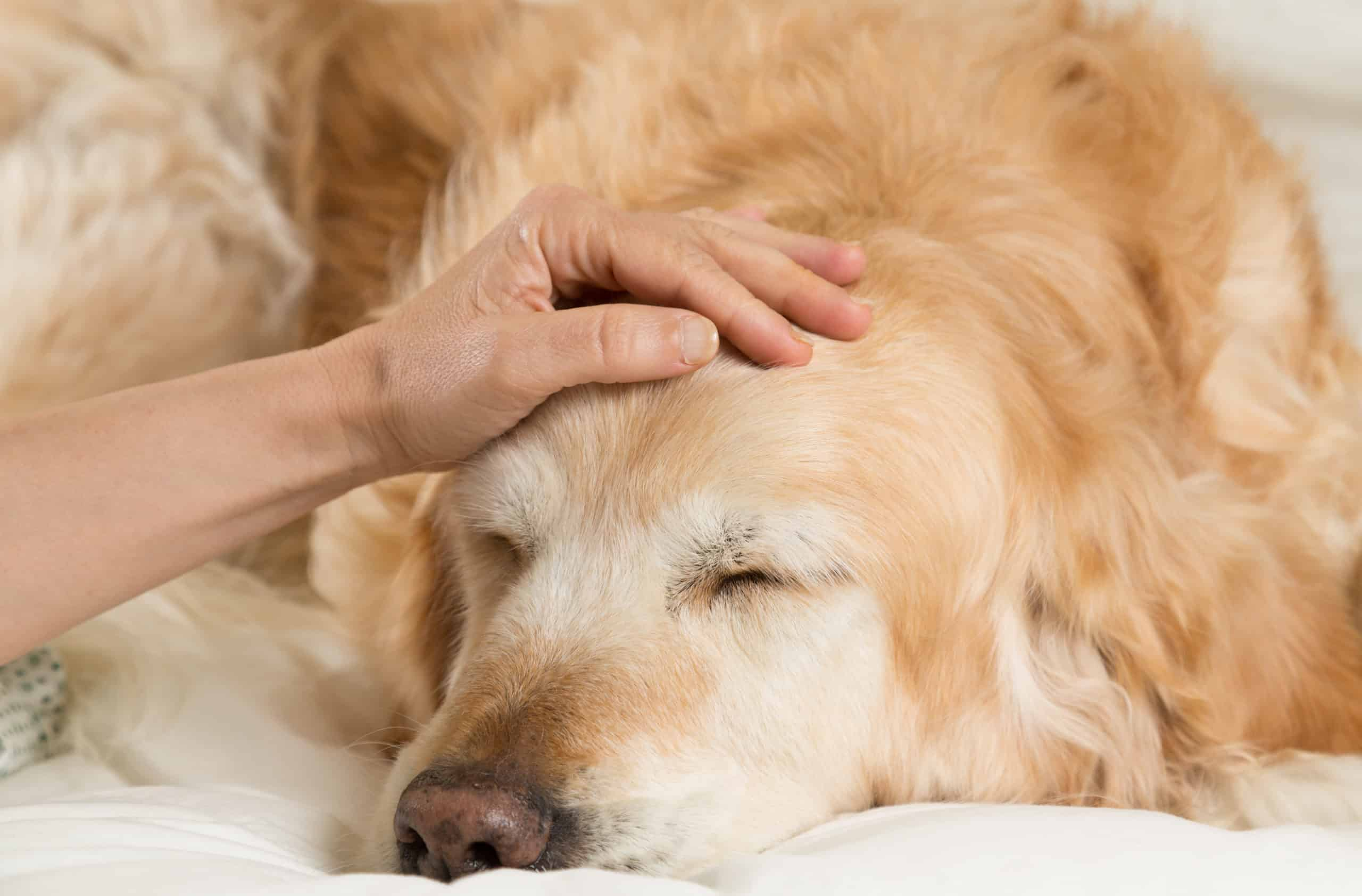 Owner comforts sick golden retriever. Gastric ulcers in dogs are caused by infections or diseases.
