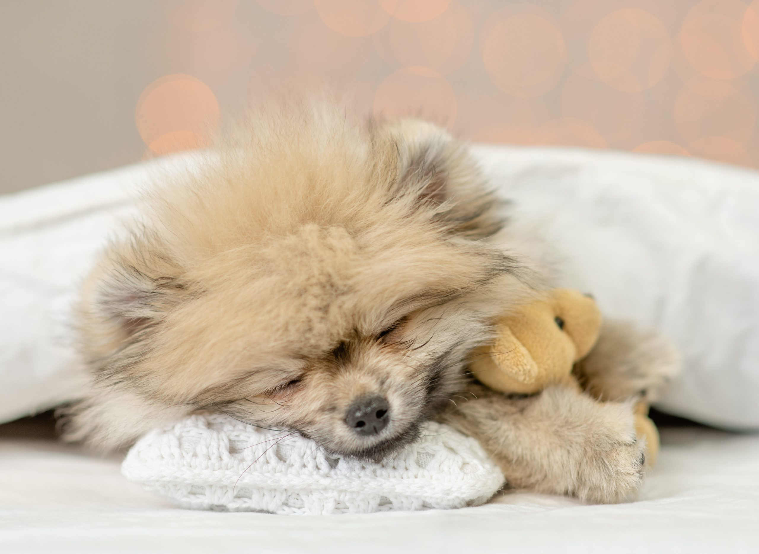 Sick Pomeranian snuggles under blanket with a Teddy bear. Infectious canine hepatitis is found in dogs, wolves, or foxes. Without vaccination it is contagious and poses a serious threat to puppies.