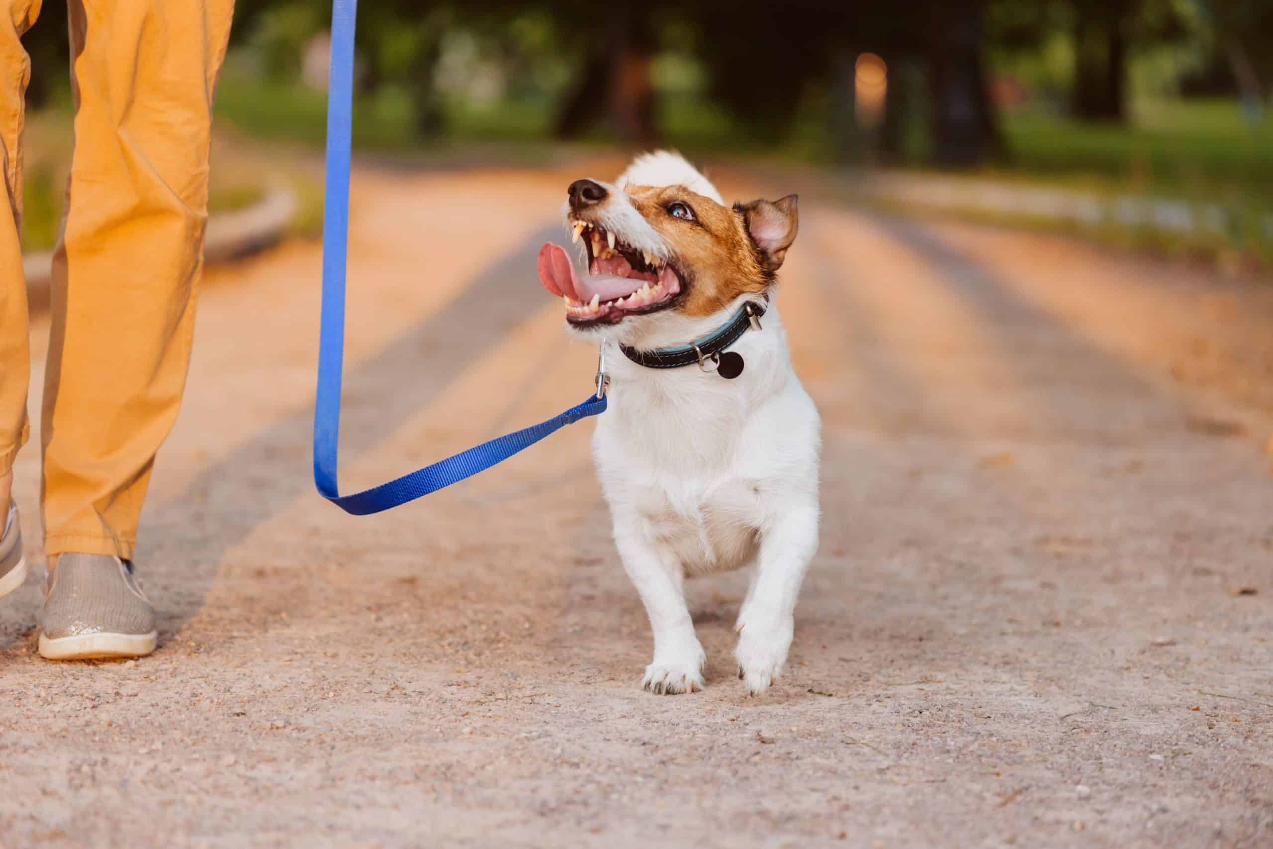 Jack Russell terrier walks with owner. When you introduce dog to strangers, be sure to control the situation, reward good behavior, and keep interactions short.