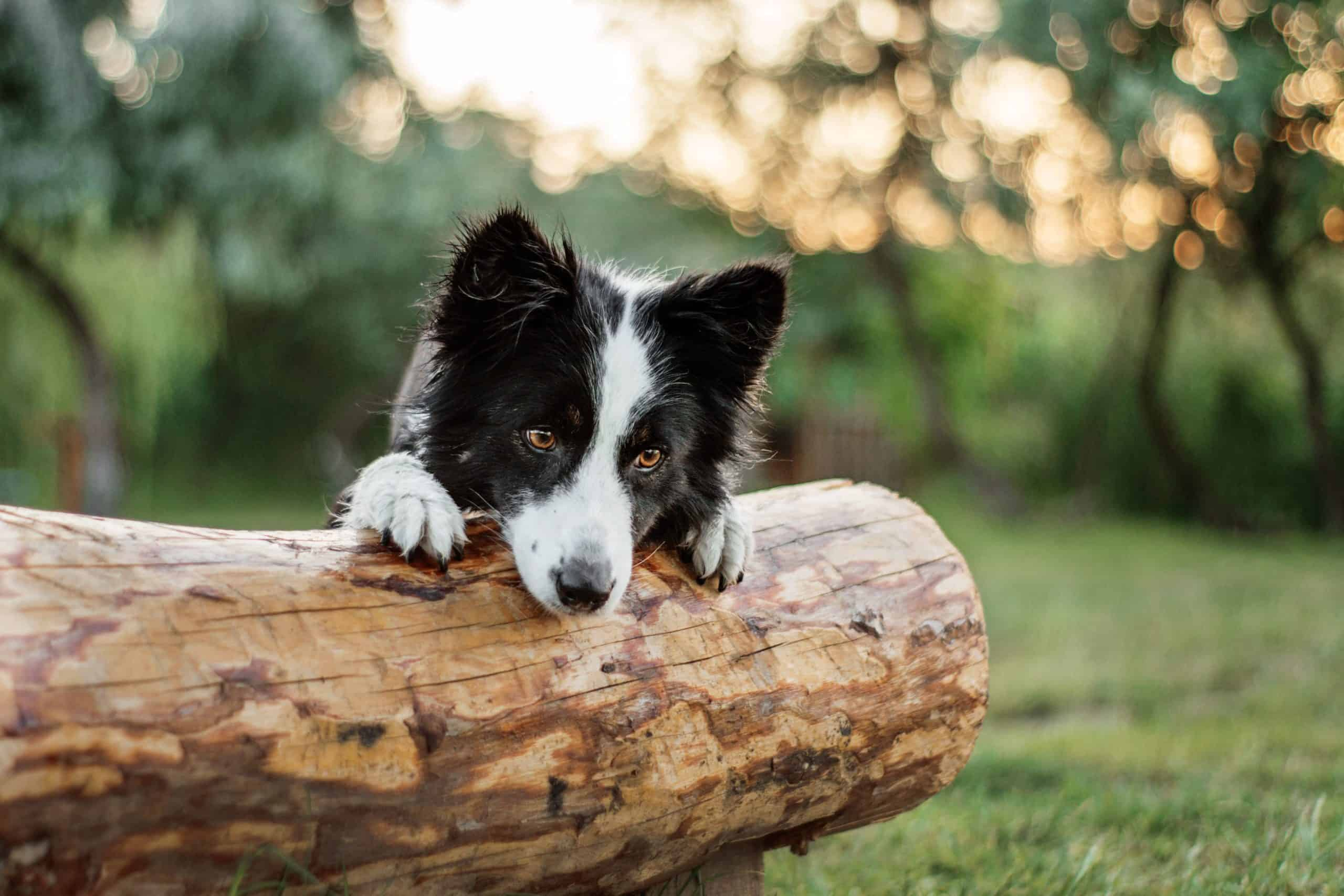 Border Collie leans against log out in nature. Dogs commonly contract leptospirosis. Catching the signs of leptospirosis in dogs early leads to prompt treatment and better recovery odds.