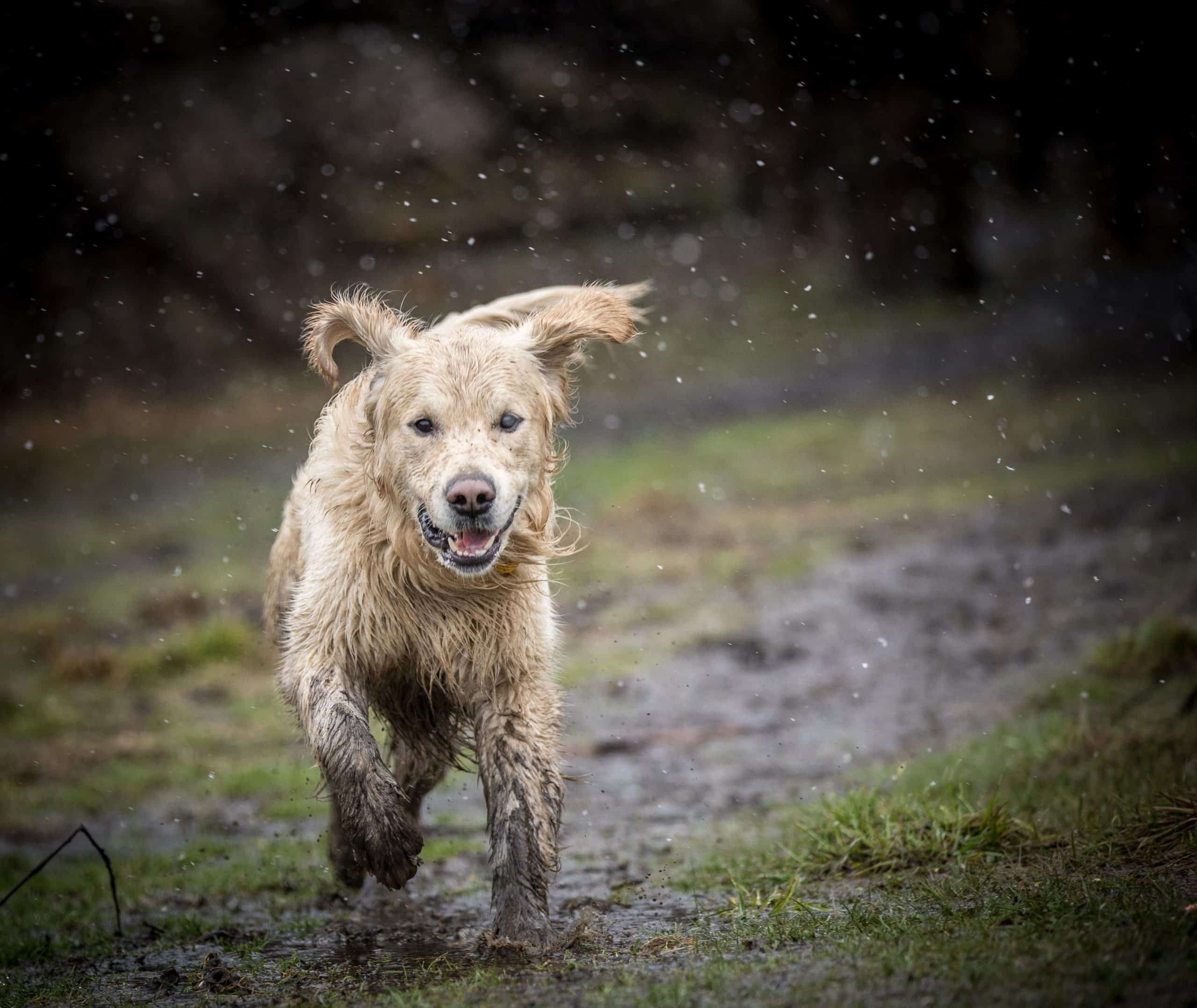 Muddy dog plays outside. The bacteria that causes leptospirosis is commonly found in stagnant bodies of water that wildlife use.