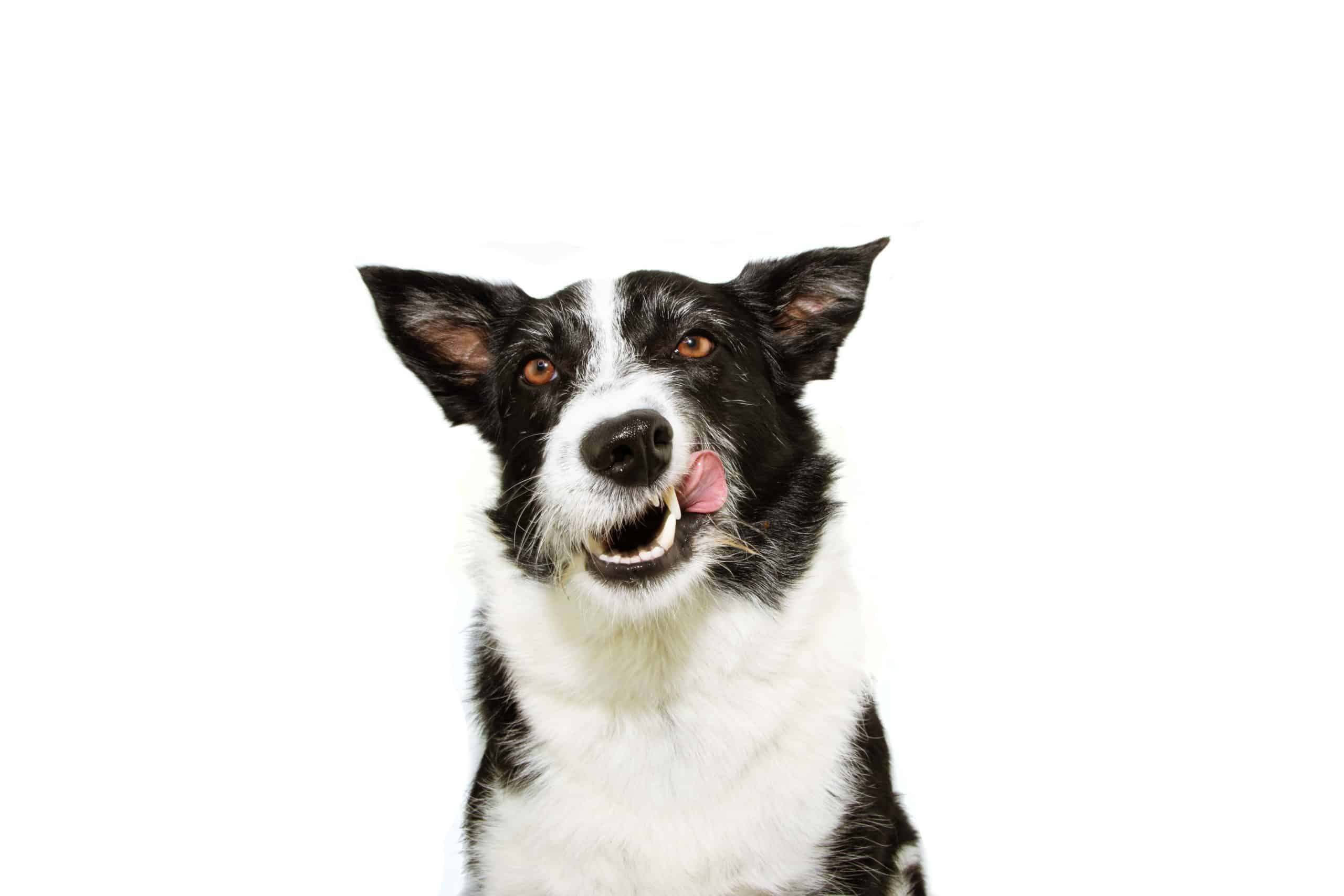 Happy border collie licks his chops.