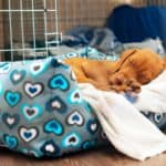Vizsla puppy sleeps in his dog bed. Follow tips to make your puppy's first night easier: Create a routine, establish a sleep location, and make a plan if your fur baby whines.