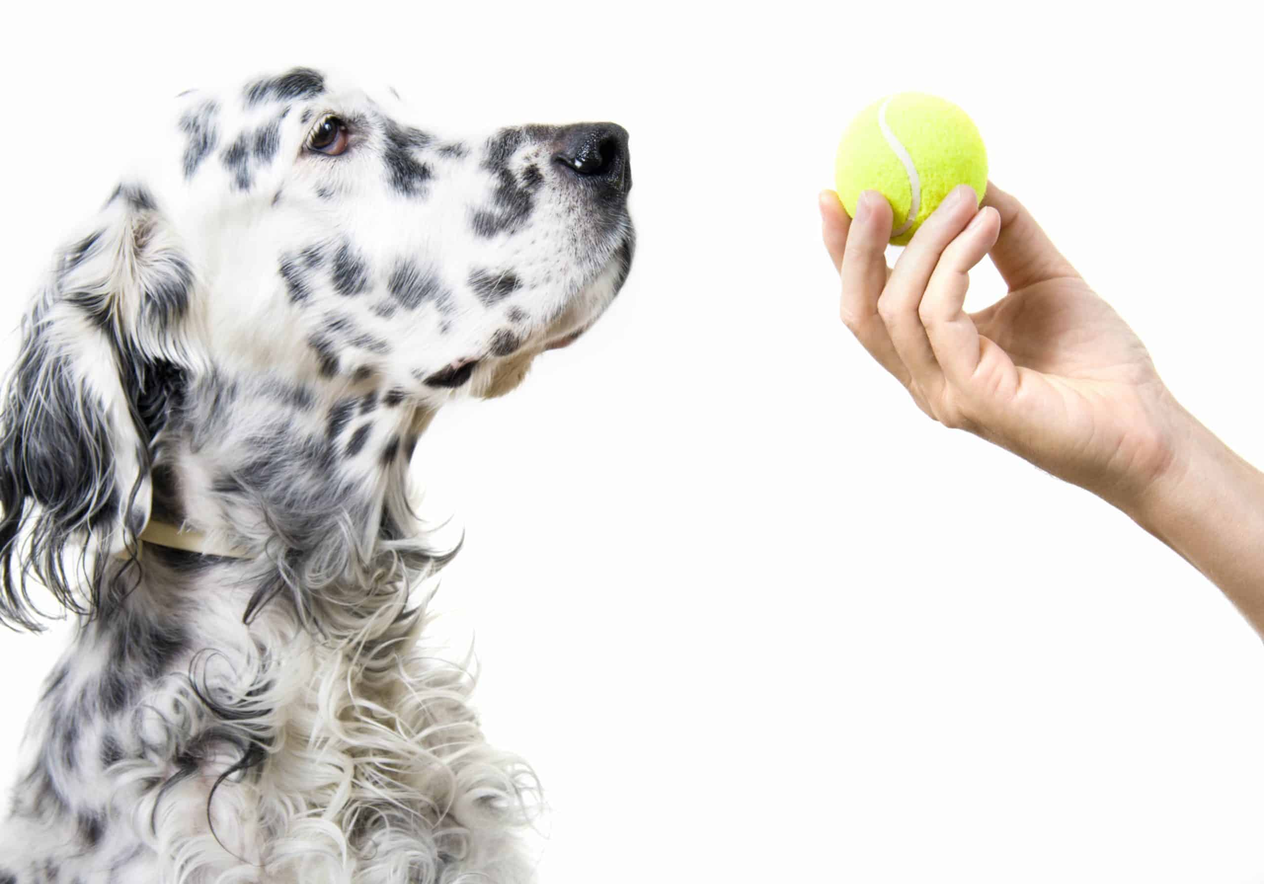 Dalmatian dog looks at a tennis ball in his owner's hand. Buy tennis balls specially made for dogs and supervise play to reduce risks of choking or dental damage, and digestion problems.
