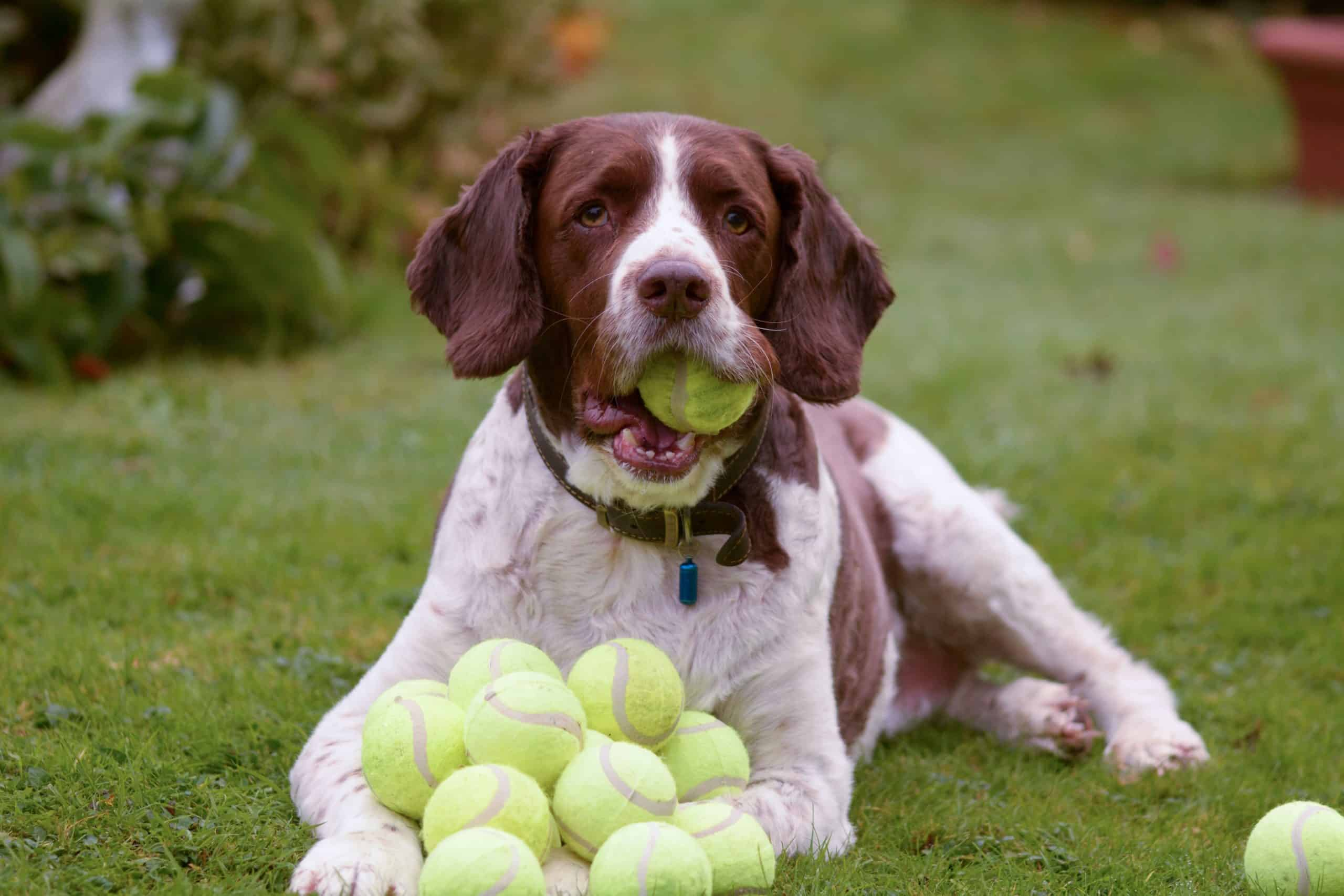 Springer spaniel plays with tennis balls. To reduce risks, don't leave tennis balls lying around the house where your pooch can get them at any time.