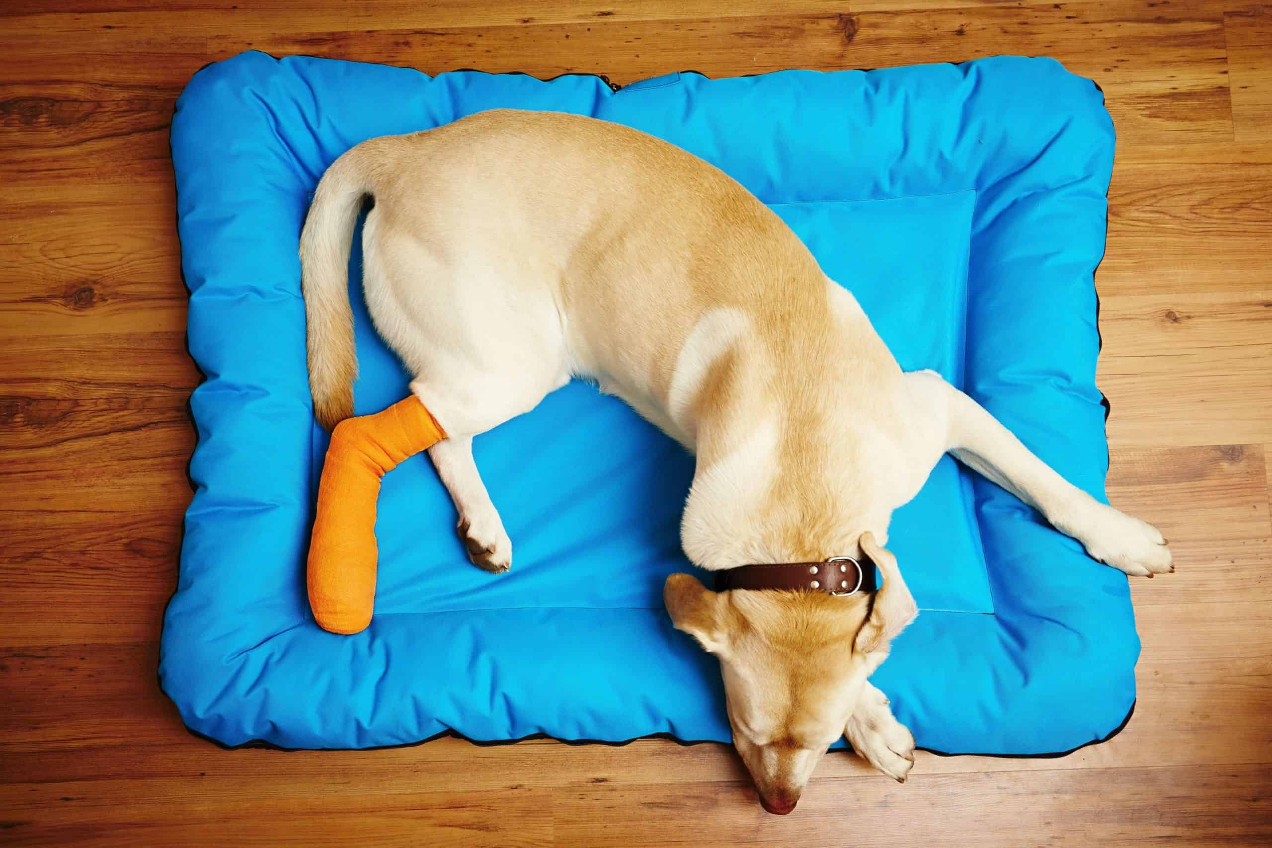 Yellow Labrador with injured back leg rests on dog bed. While a luxating patella, or the dislocation of the kneecap, is most common in small dogs, its occurrence in larger dogs is increasing.