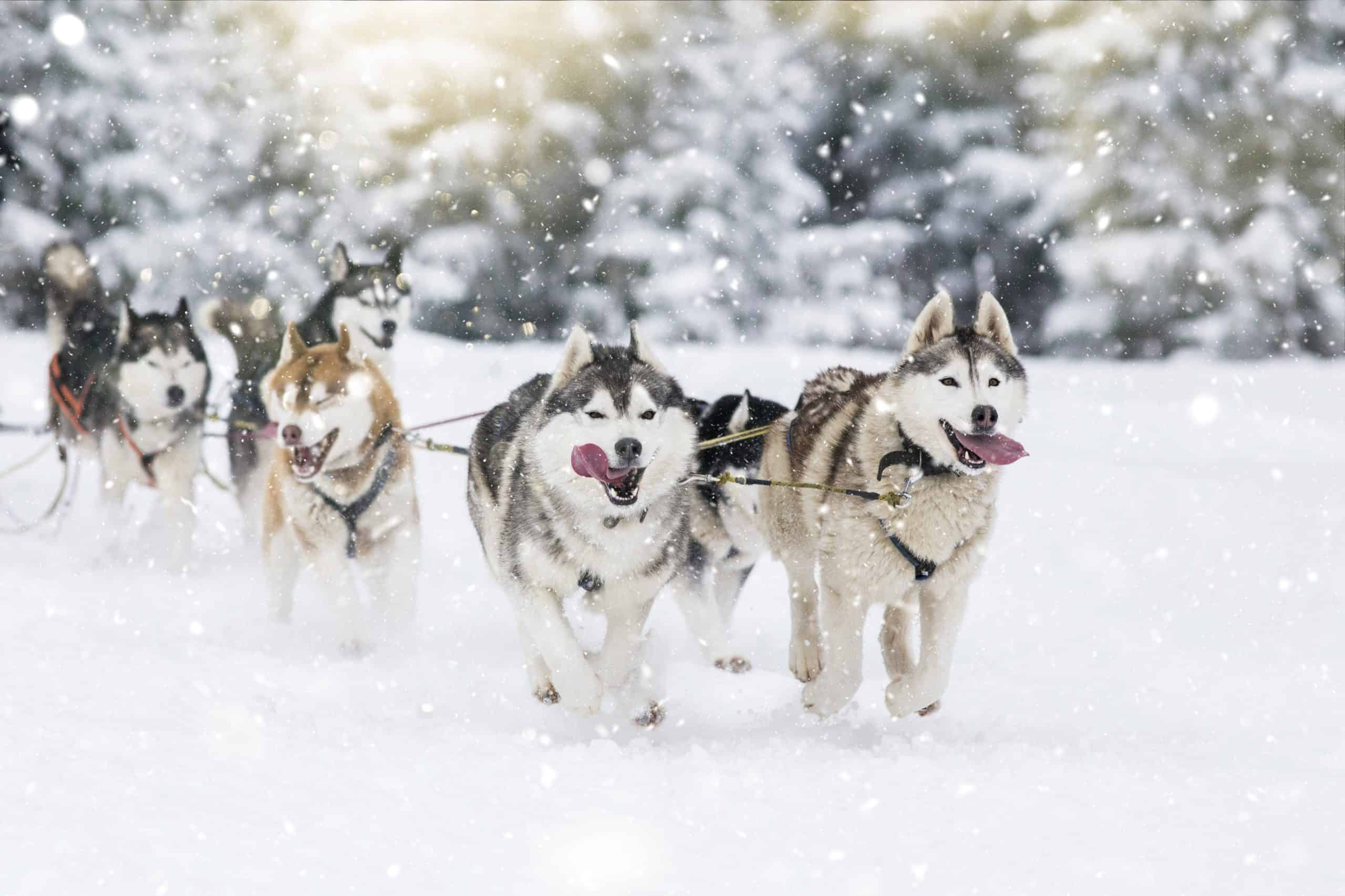 Alaskan Husky vs. Siberian Husky: Alaskan Huskies are more commonly used as sled dogs.