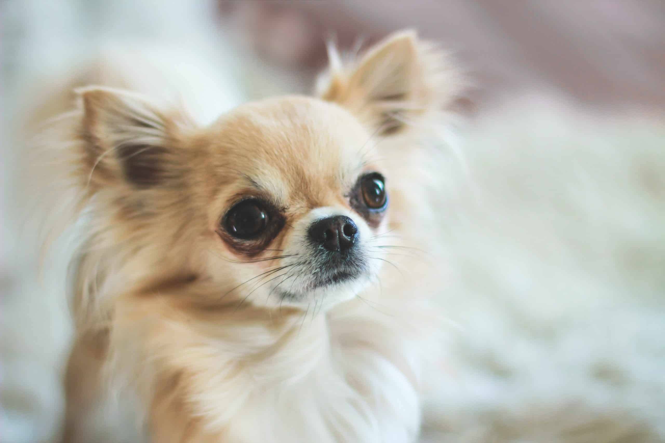 Chihuahua with tear stains.