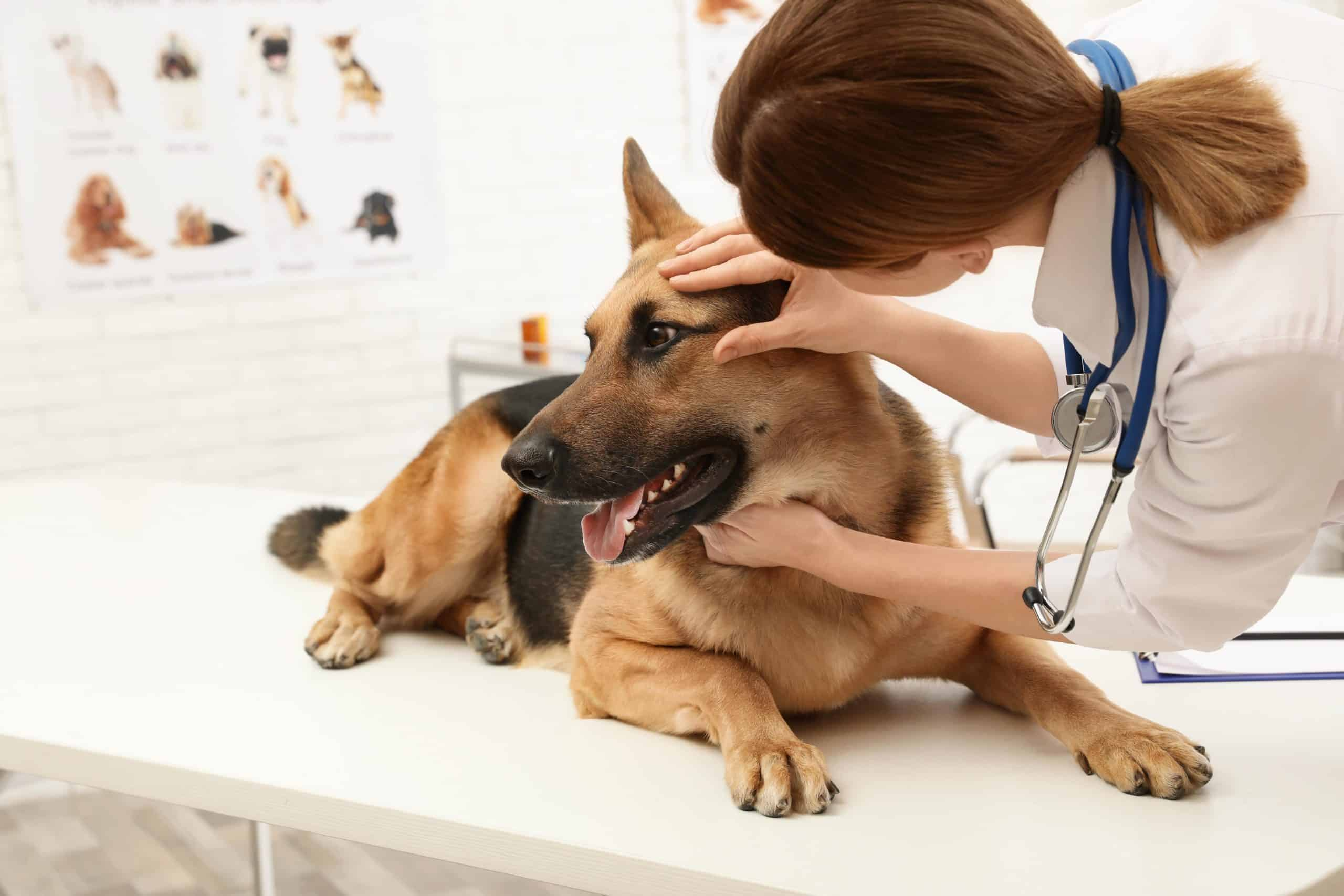 Vet examines German shepherd's eye. Canine epiphora or excessive watering or tear flow is harmless for a few dog breeds but may cause loss of vision in others.